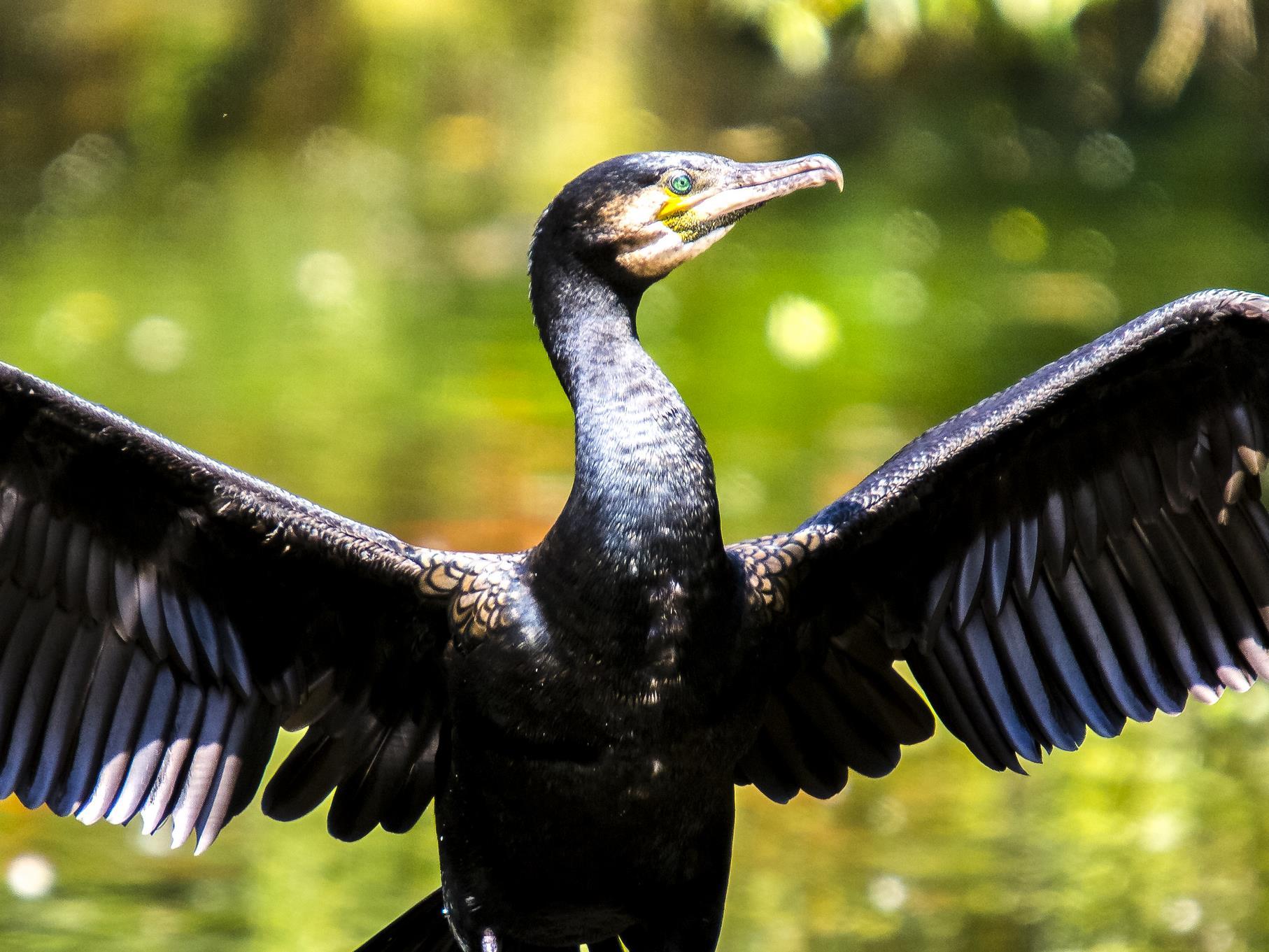 Ein Kormoran trocknet seine Flügel.