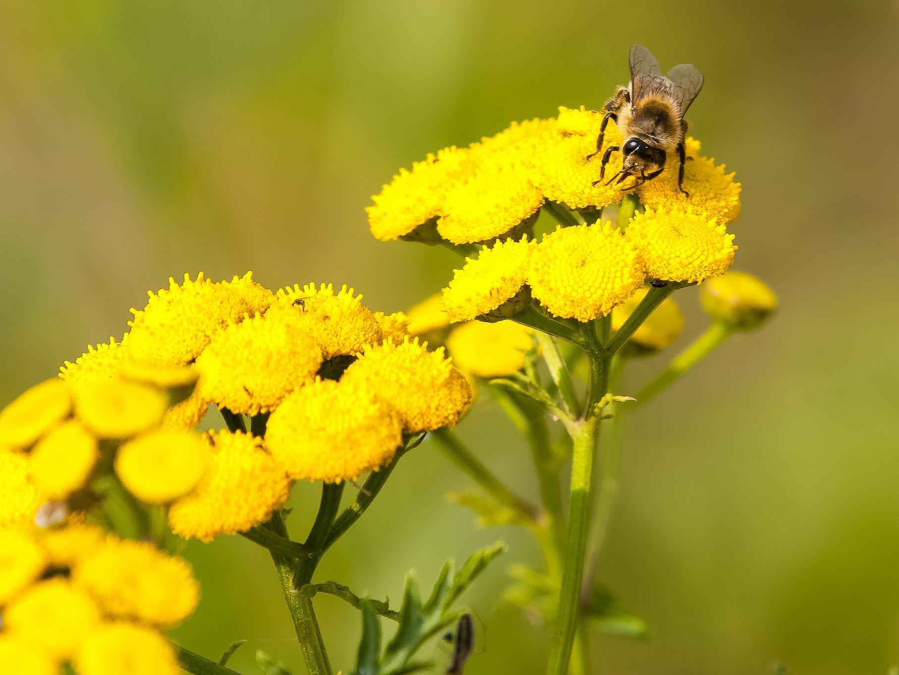 Honigbiene auf Rainfarn.