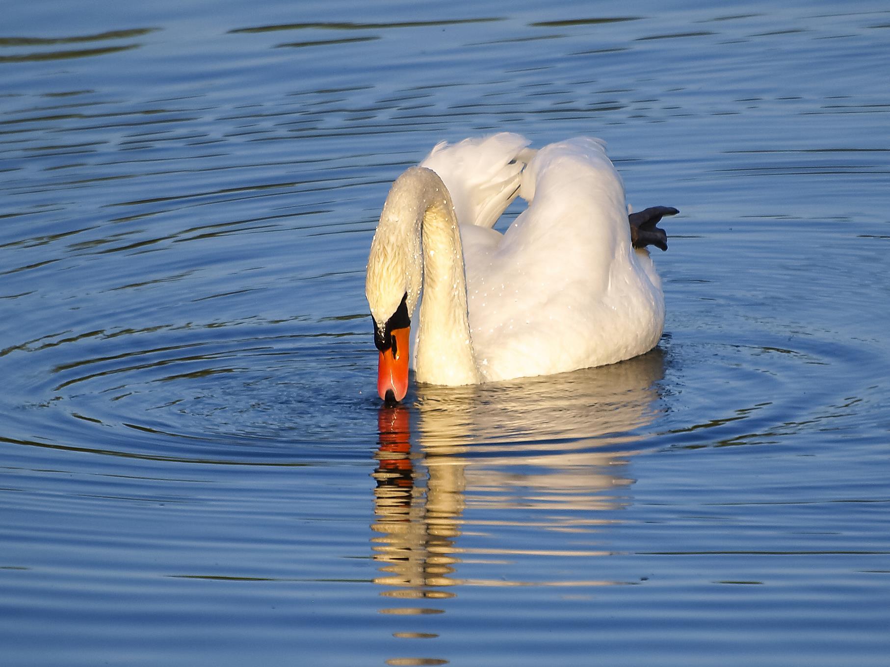 Ein Höckerschwan am östlichen Teich taucht gleich ins Wasser.