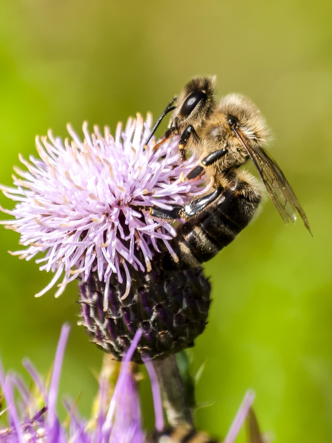 Die fleißigen Honigbienen können in der Auenlandschaft beim Pollen sammeln beobachtet werden.