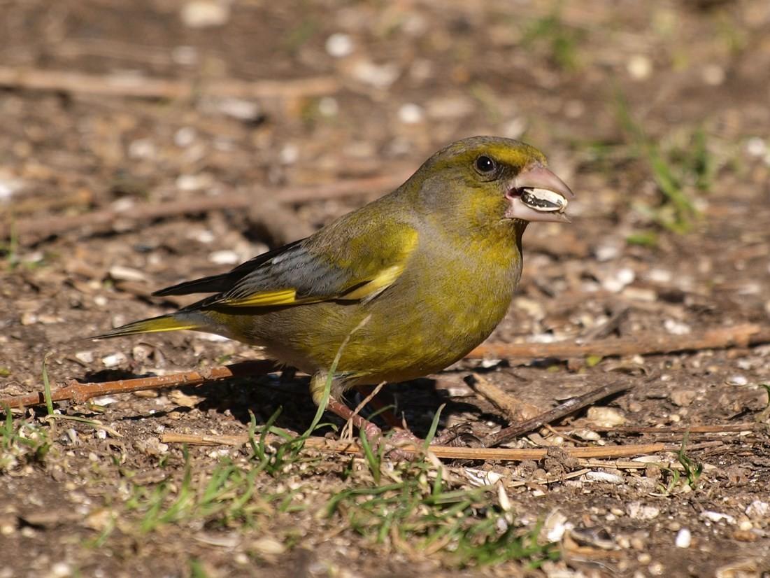 Ein Grünfinken-Männchen. - Foto: Kathy Büscher