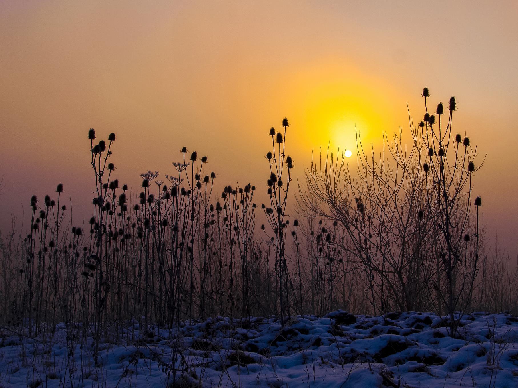 Wilde Karde im Sonnenaufgang.