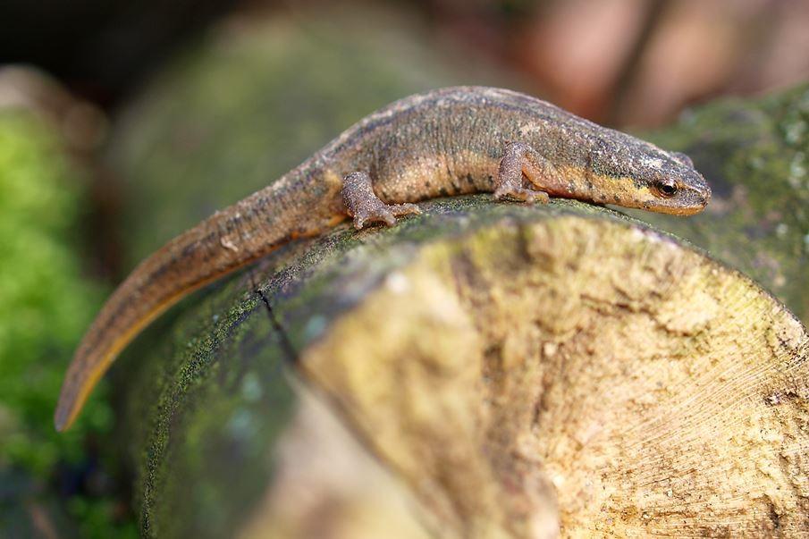 Ein Fadenmolch-Weibchen. - Foto: Kathy Büscher