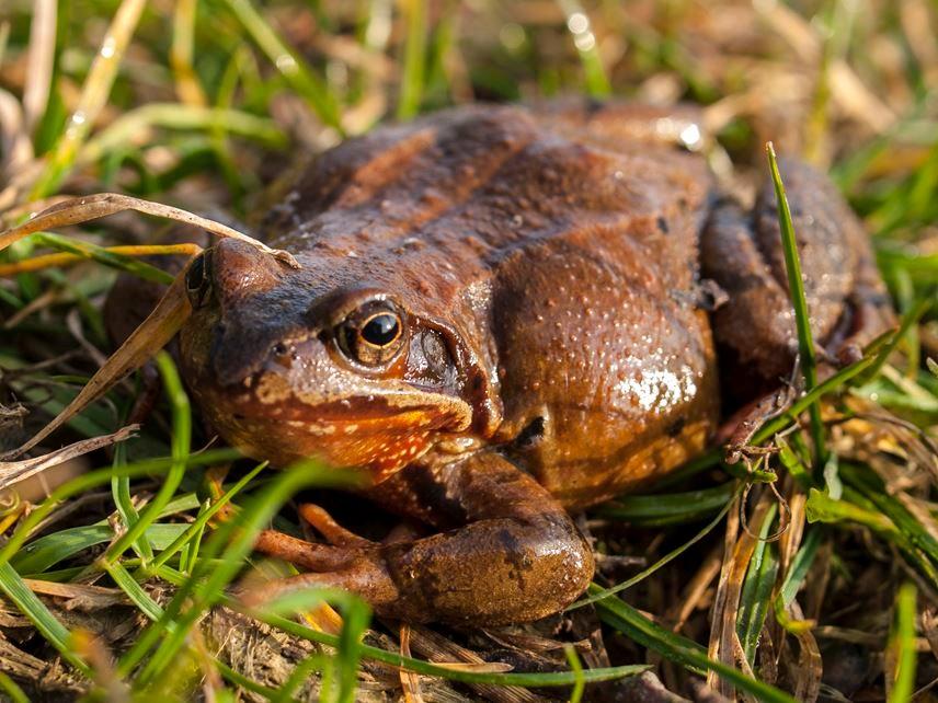 Ein Grasfrosch-Weibchen. - Foto: Kathy Büscher