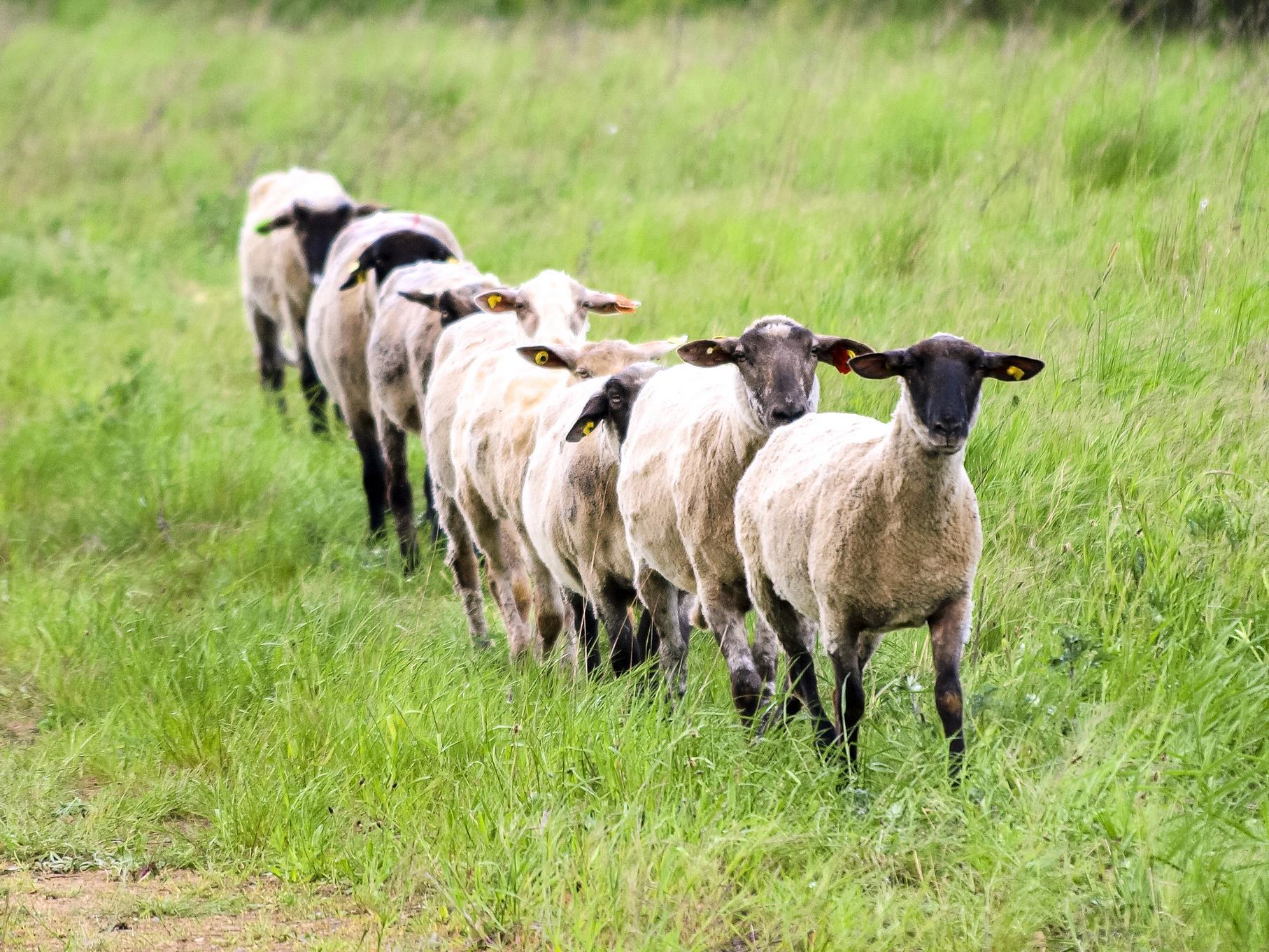Auch Schafe werden als Landschaftspfleger eingesetzt.