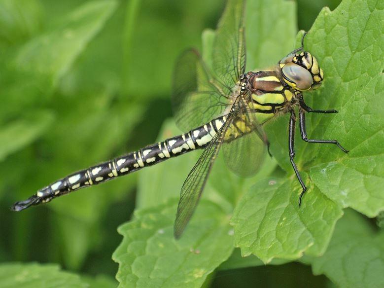 Rund um die Teiche gibt es viele verschiedene Libellen-Arten. - Foto: Kathy Büscher