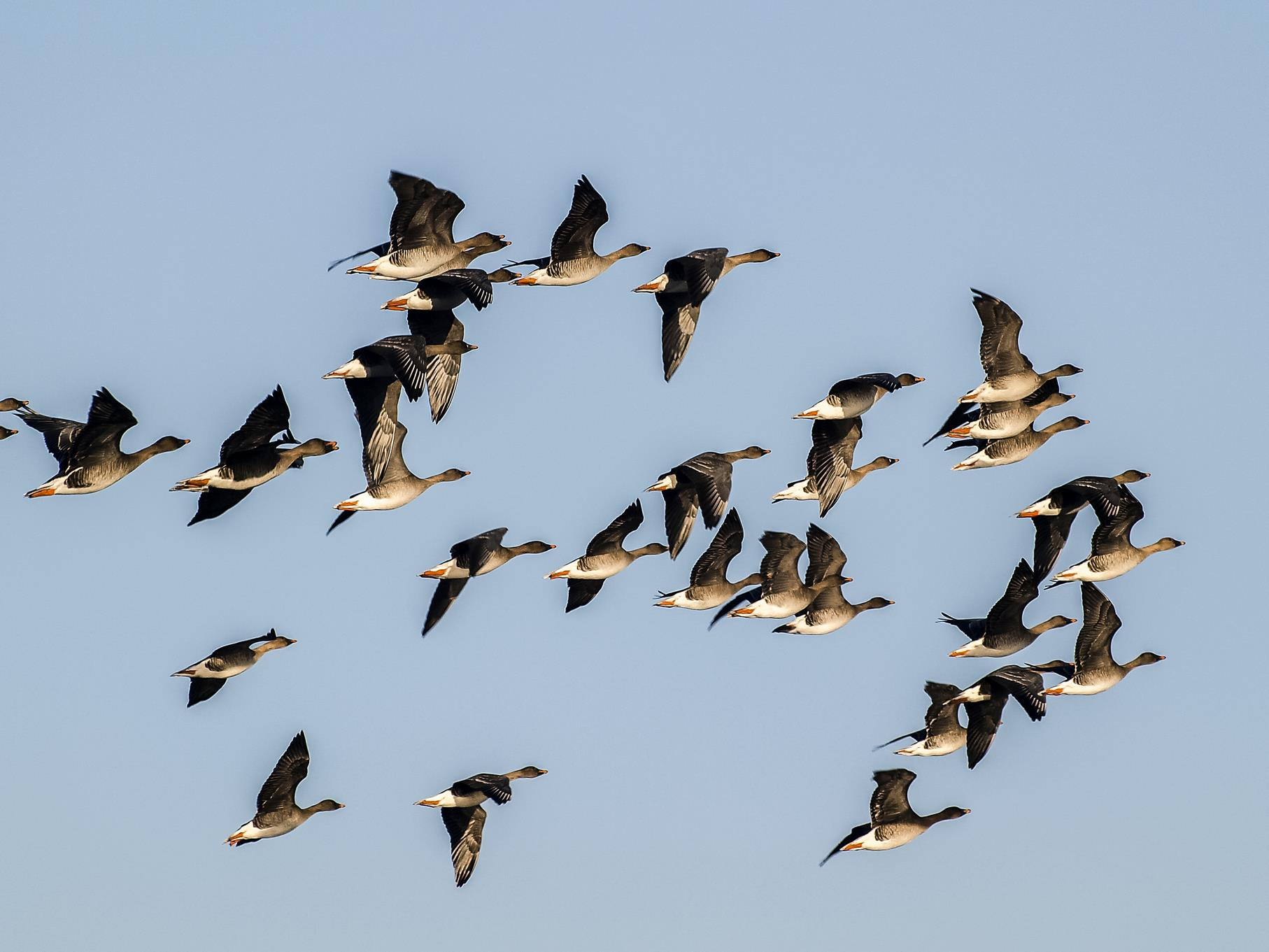 Eine Gruppe Saatgänse fliegt am Himmel über den Kiesteichen.