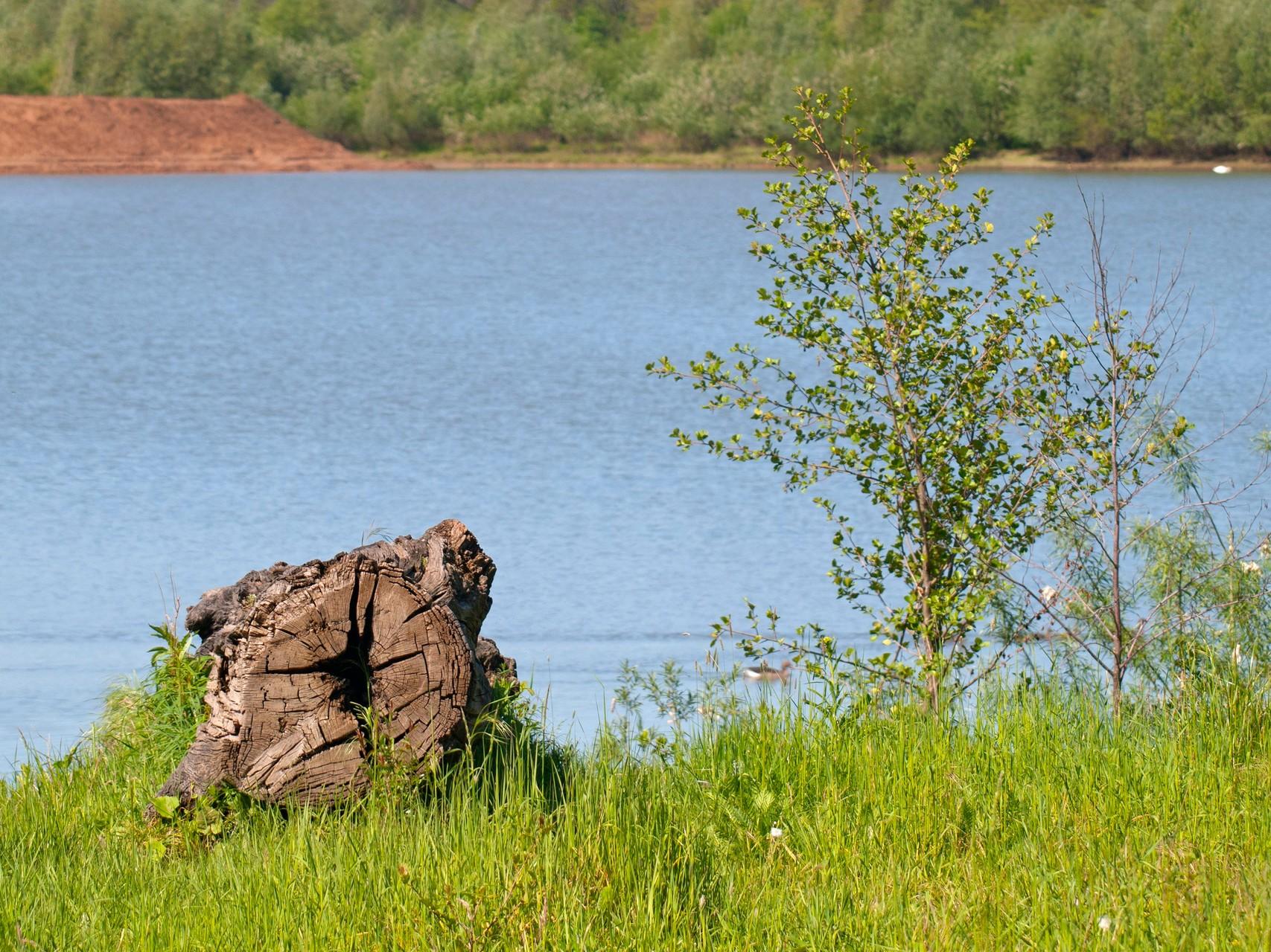 Eine Mooreiche am Ufer. - Foto: Kathy Büscher