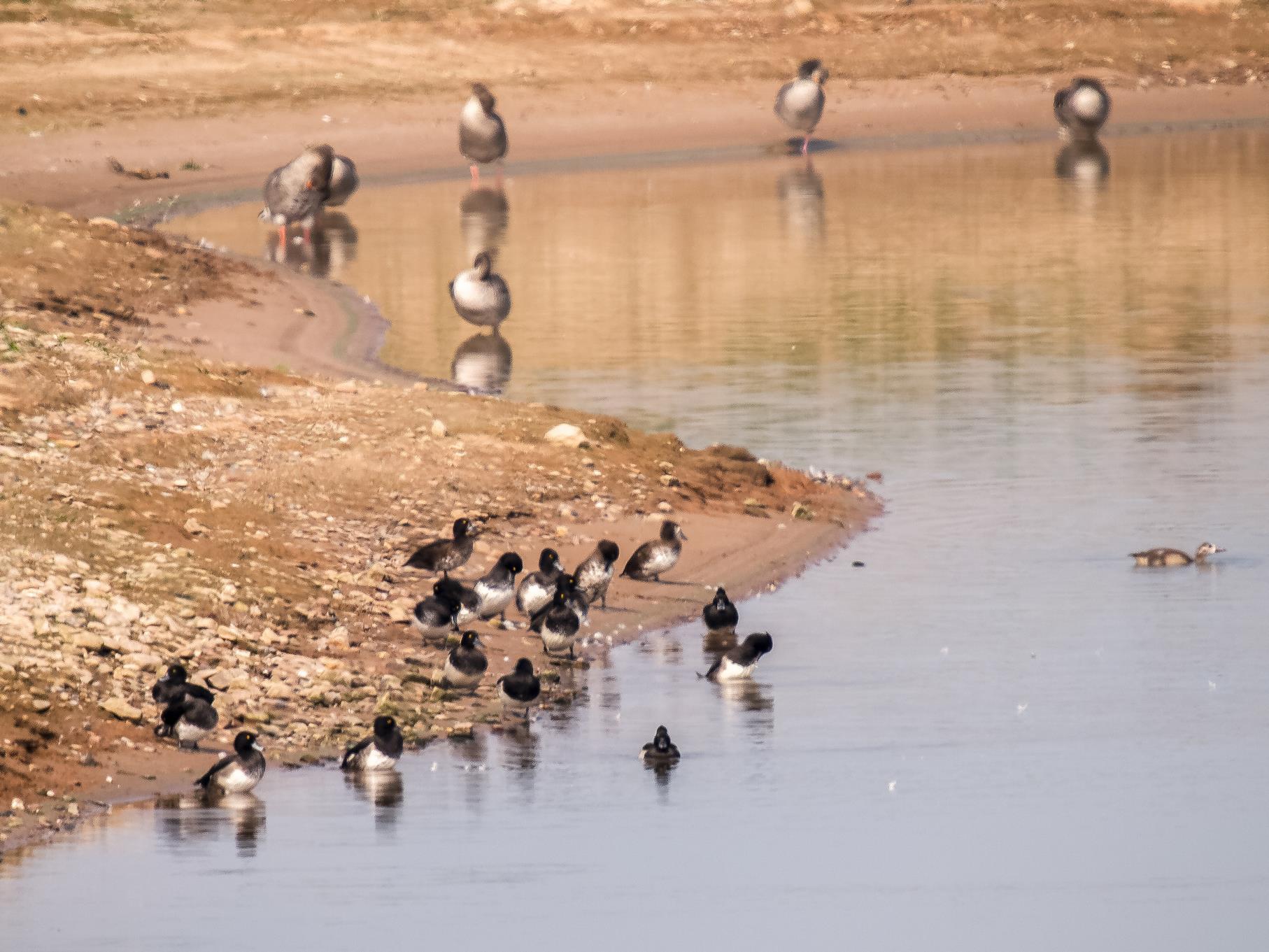 Reiherenten und Graugänse sitzen auf der flachen Insel.