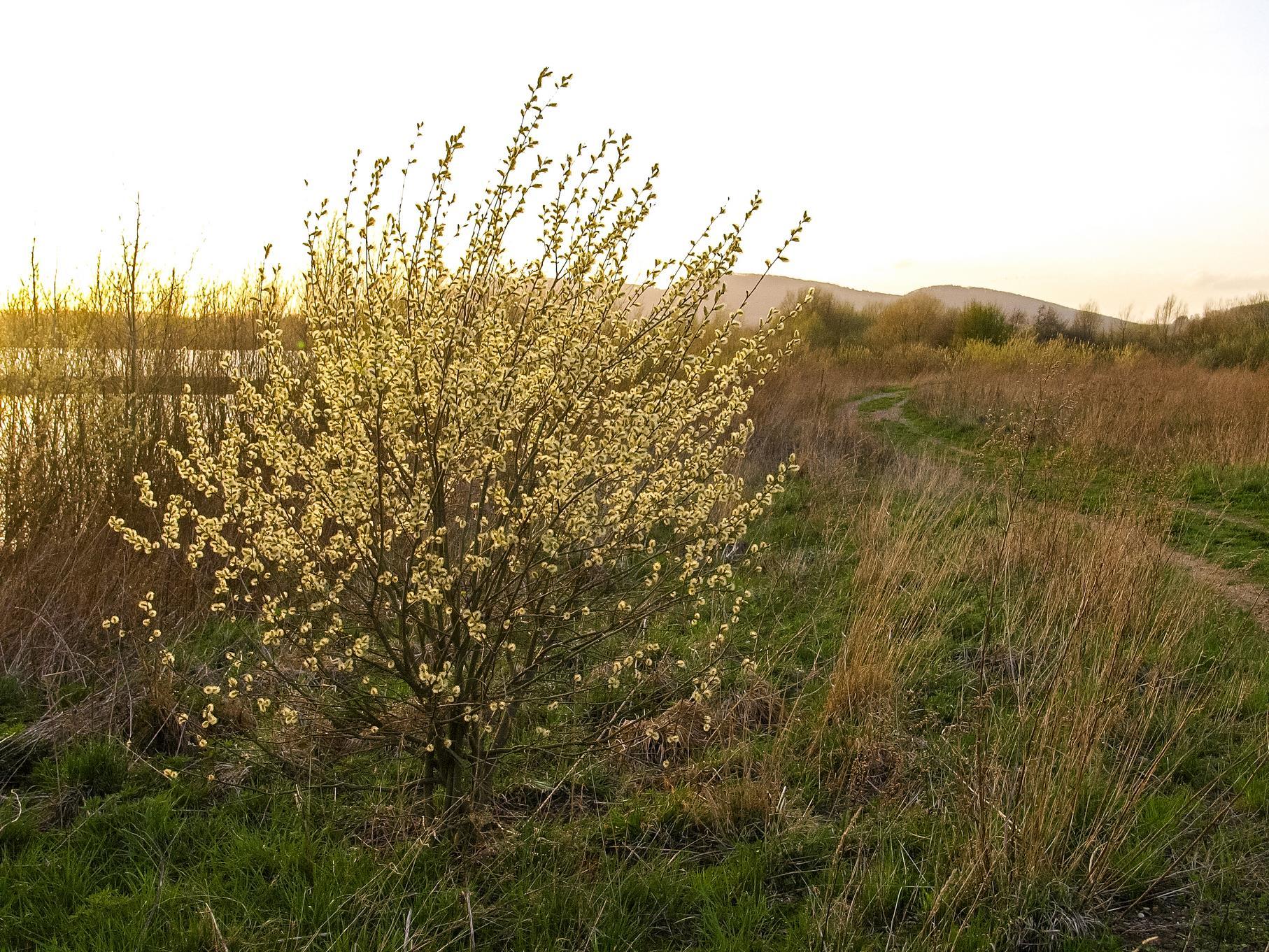 Leuchtende Weide am östlichen Teich in der Abendsonne.