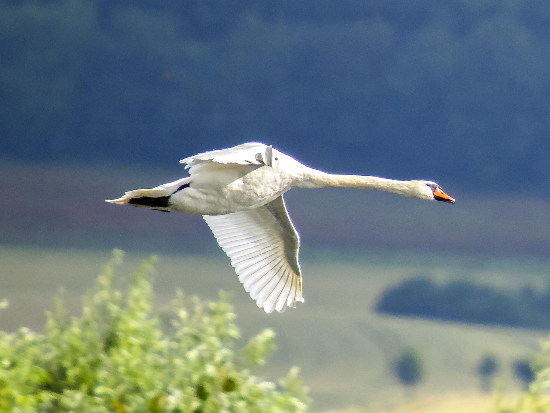 Fliegender Höckerschwan.