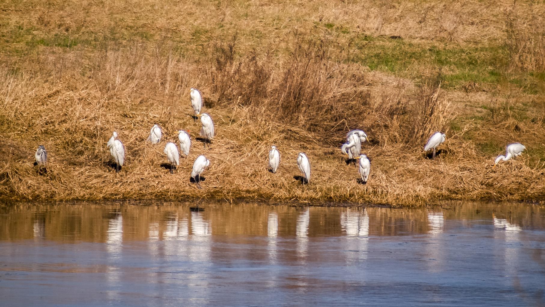 Eine Gruppe Silberreiher am Weserufer neben der Auenlandschaft.