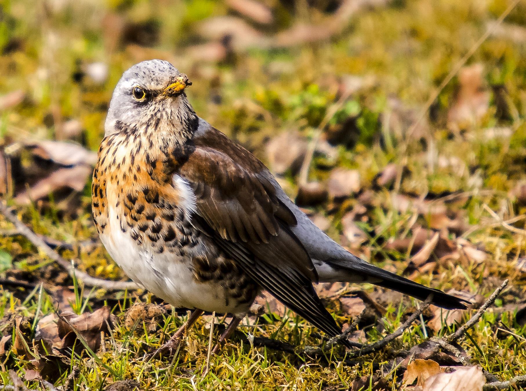 Unter den Singvögeln, die an den Kiesteichen beobachtet werden können, sind auch Drosseln.