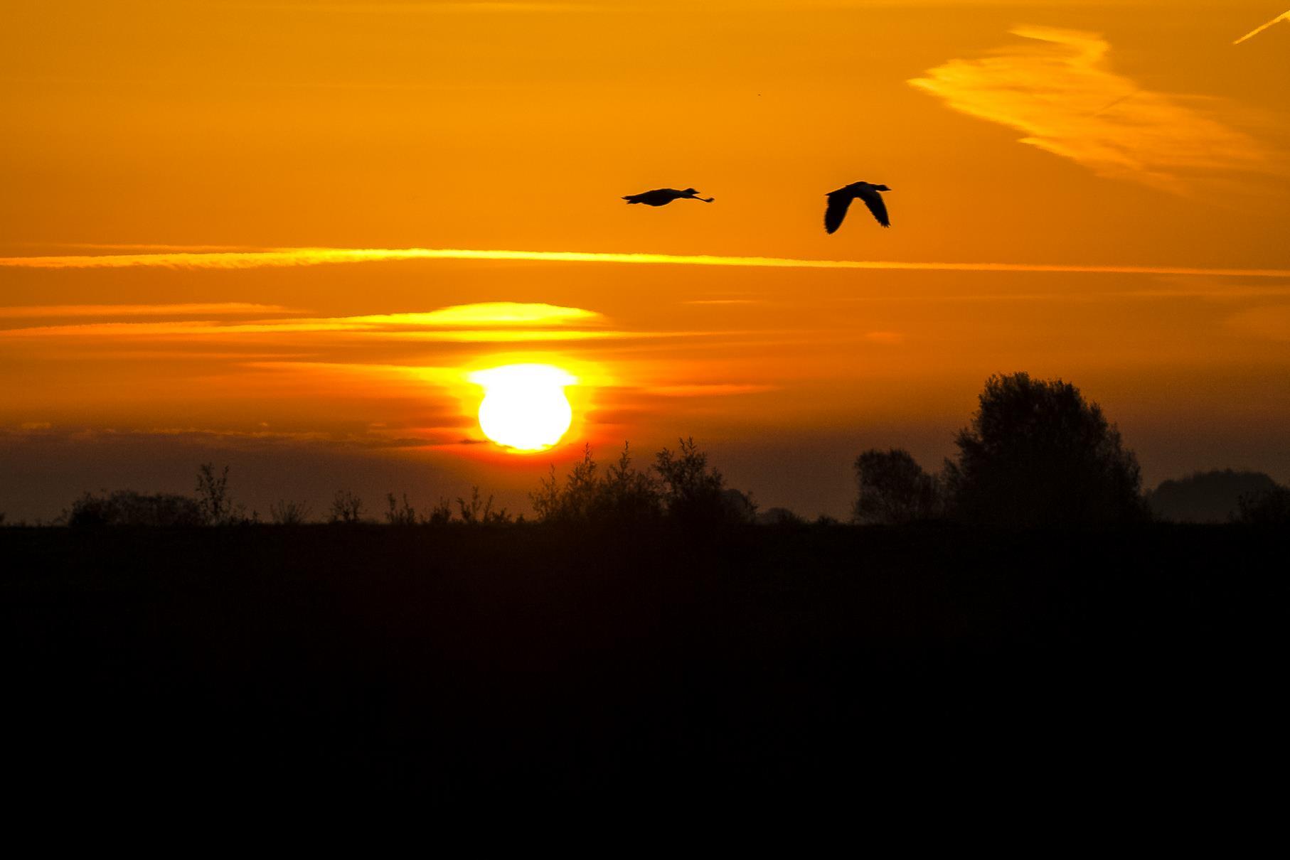 Fliegende Gänse in der Morgensonne.