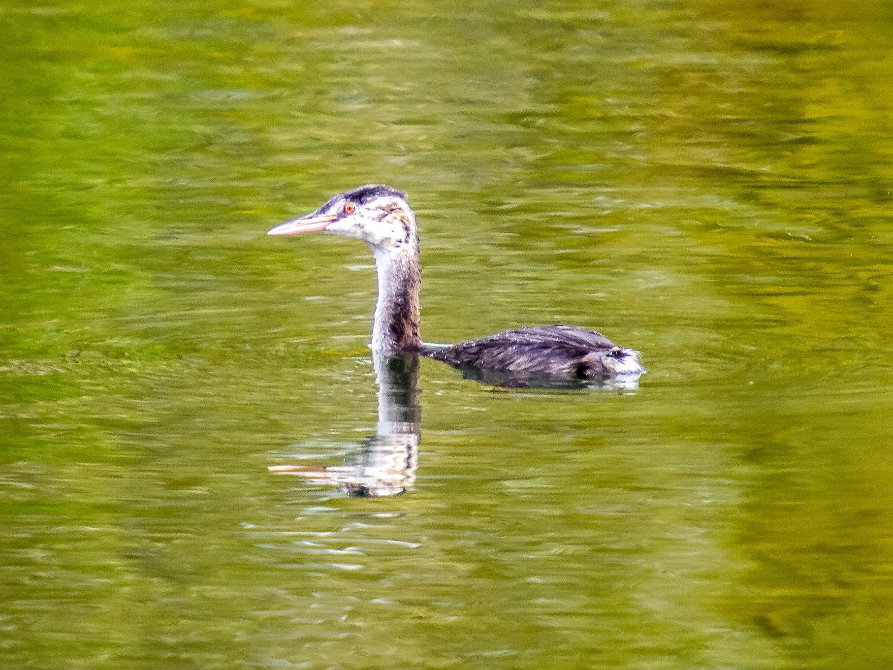 Ein Haubentaucher schwimmt auf dem östlichen Teich.
