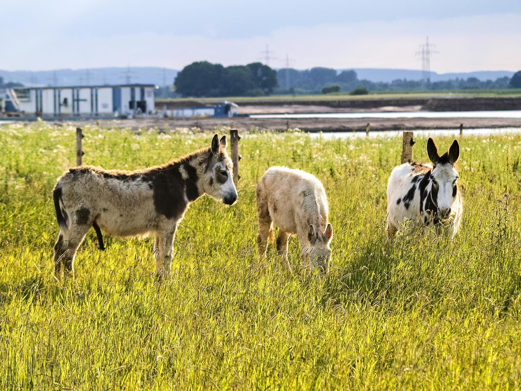 Die Esel grasen auf der Weide am Stichweg, im Hintergrund ist das Abbauschiff zu sehen.