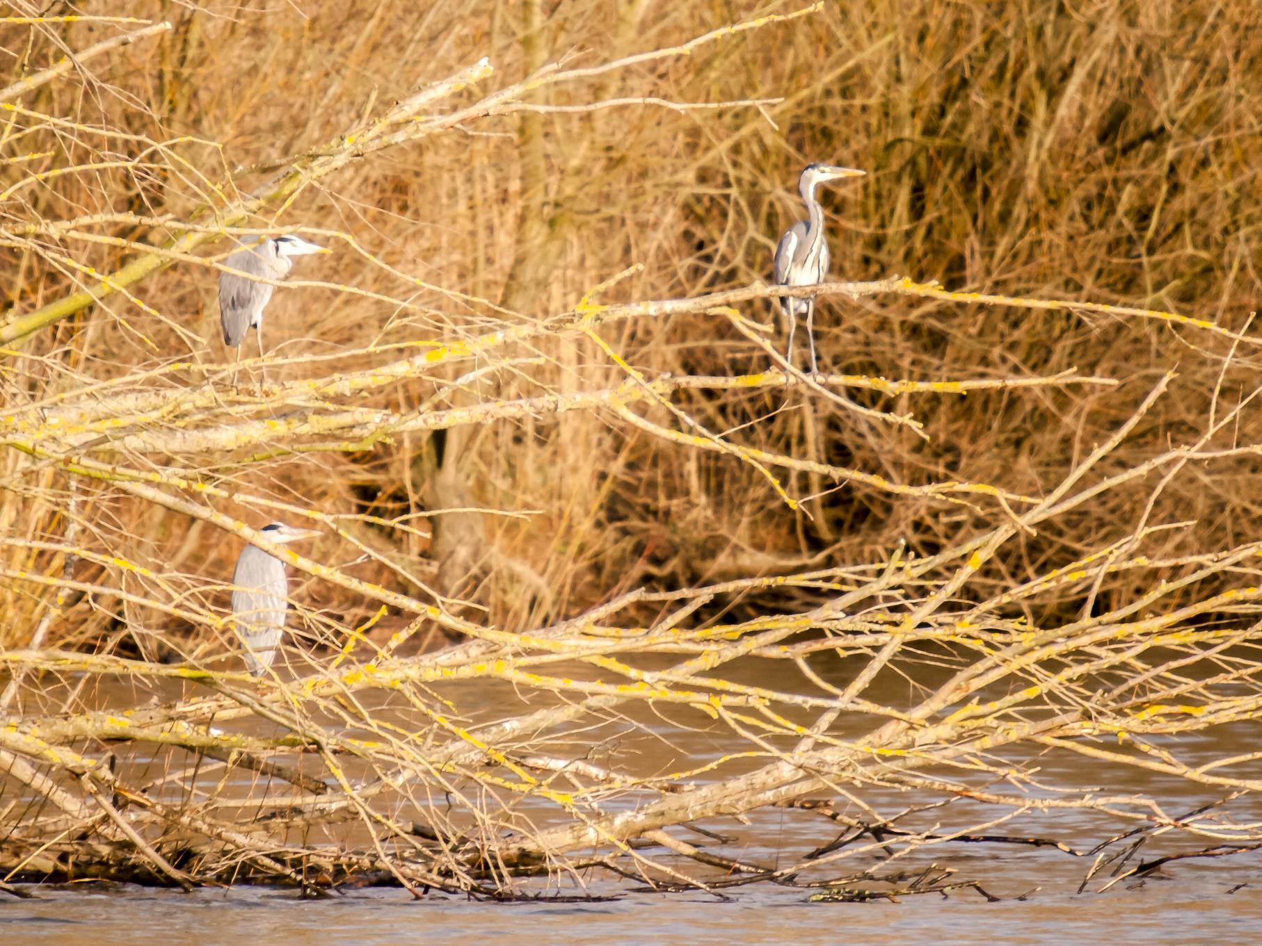 Graureiher sitzen auf einem Baum am Ufer.