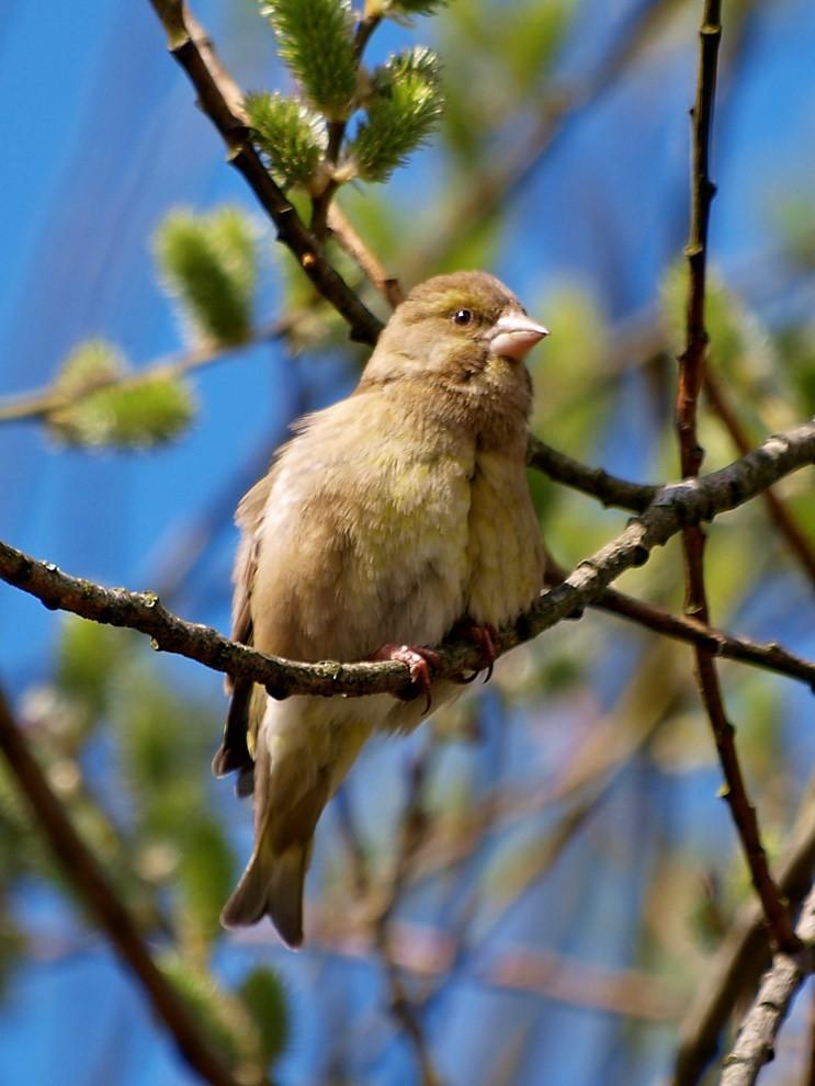 ...und das Grünfinken-Weibchen. - Foto. Kathy Büscher