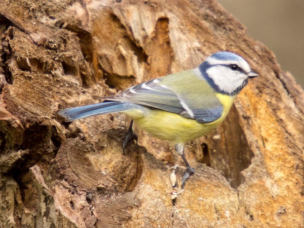 Eine Blaumeise an einem Baumstamm. - Foto: Kathy Büscher