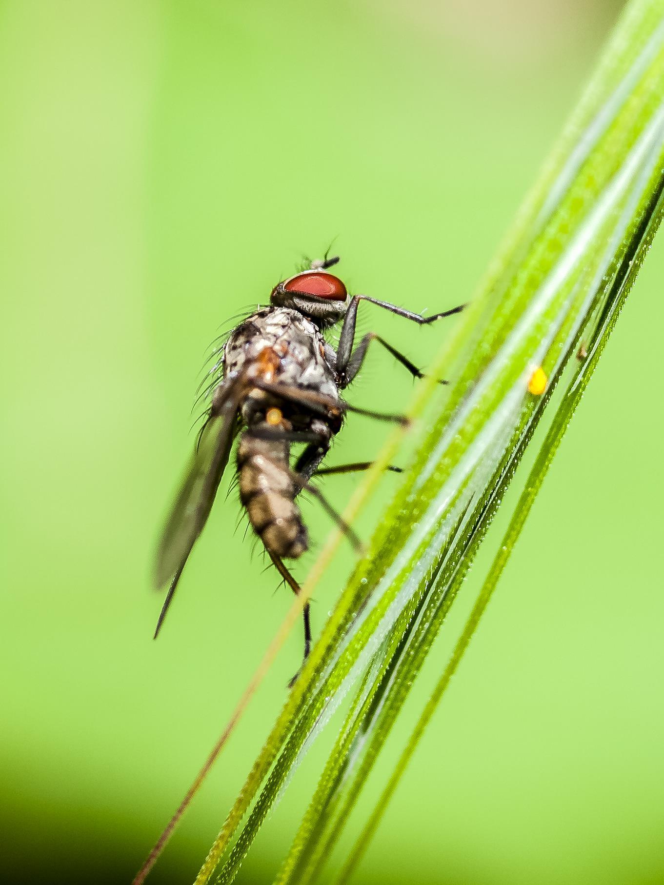 Eine Fliege sitzt auf einem Grashalm.