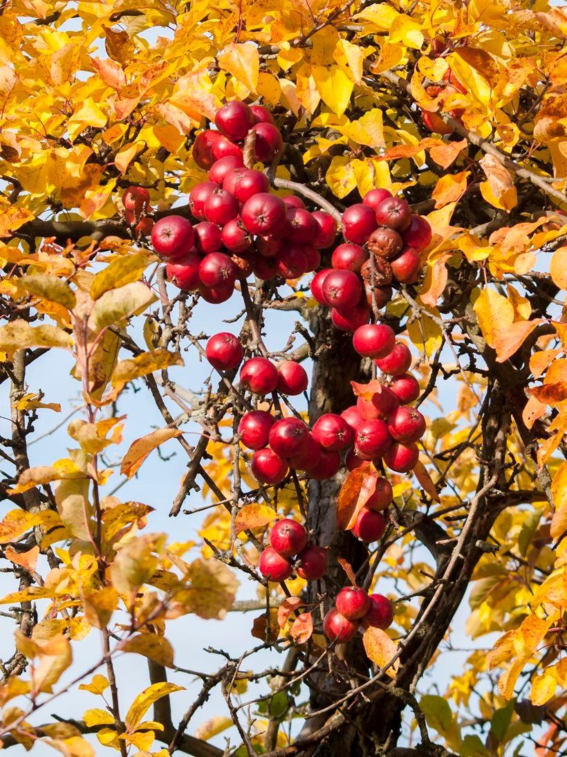 Alles rund um den Apfel beim Apfelfest. - Foto: Kathy Büscher