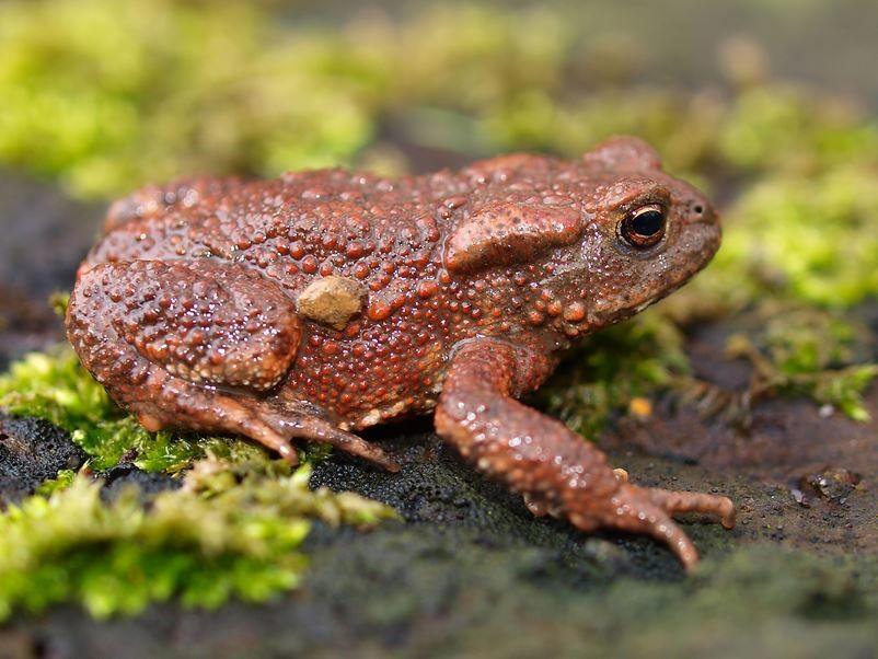 Eine kleine, rötlich gefärbte Erdkröte. - Foto: Kathy Büscher