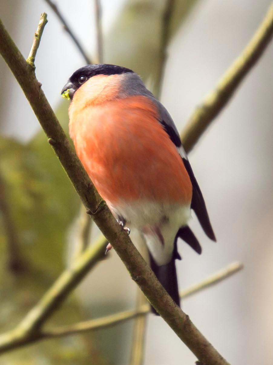 Ein Gimpel-Männchen auf einem Ast. - Foto: Kathy Büscher