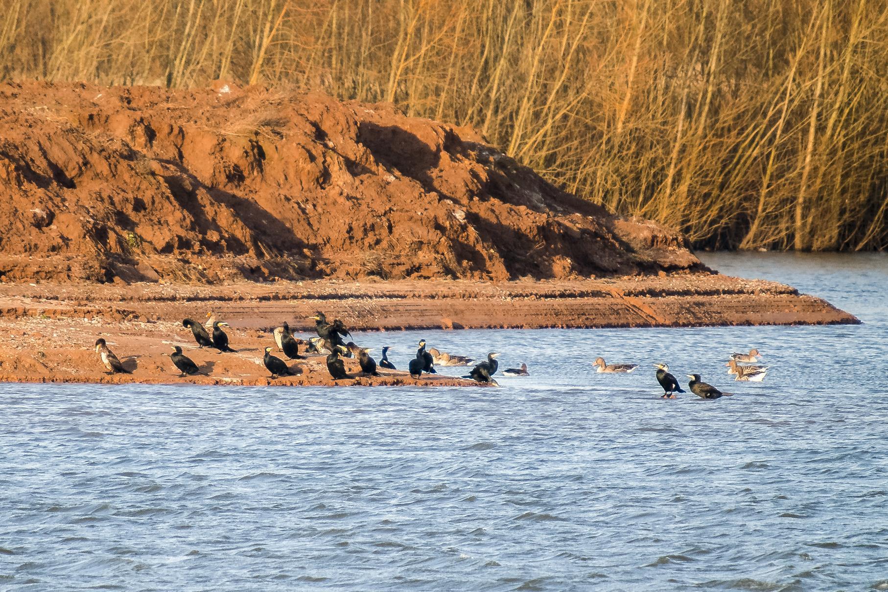 Kormorane und Graugänse sitzen am Fuß der Vogelinsel in der Januarsonne.
