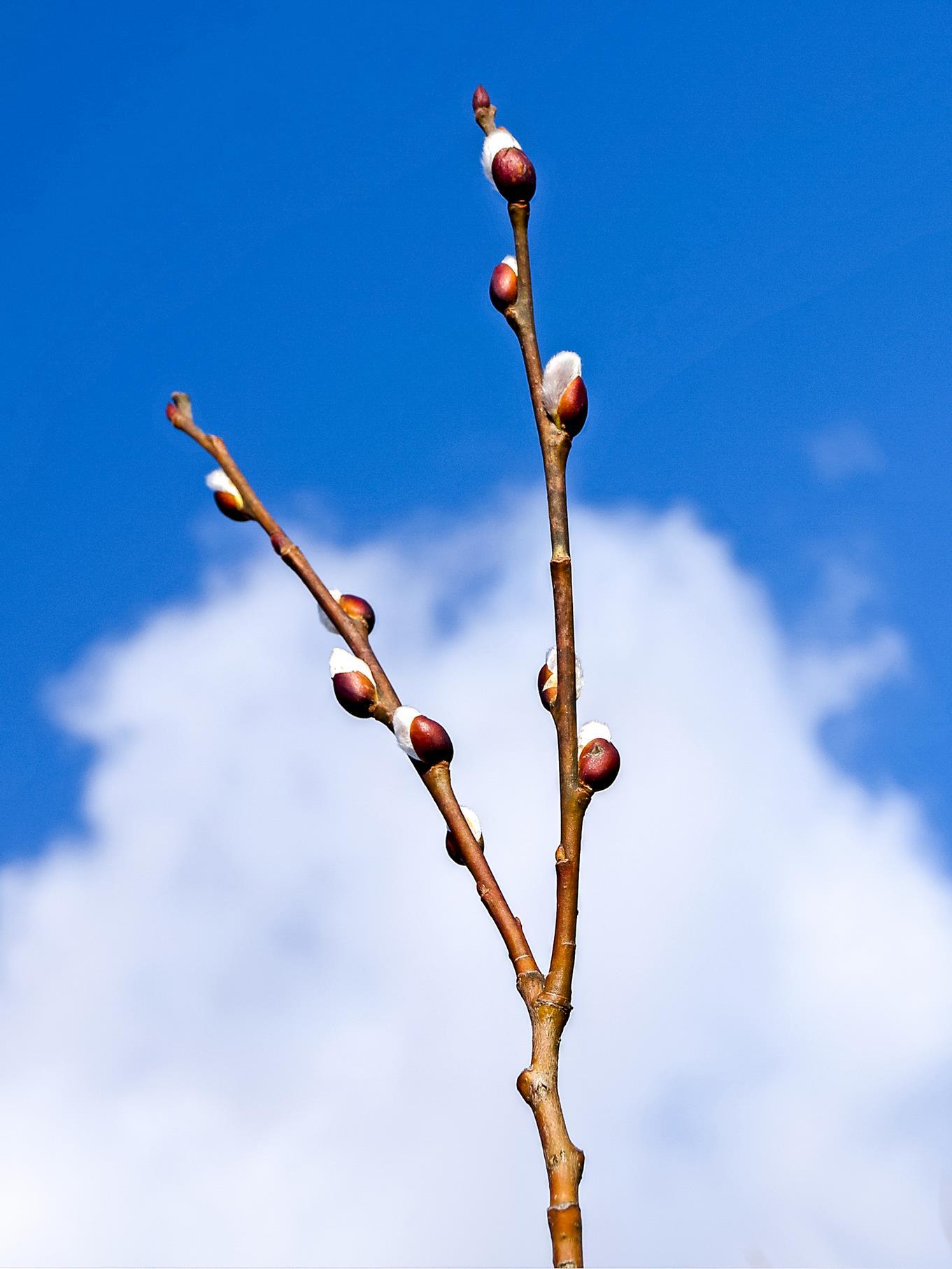 Die ersten Weiden blühen bereits an warmen Februartagen.