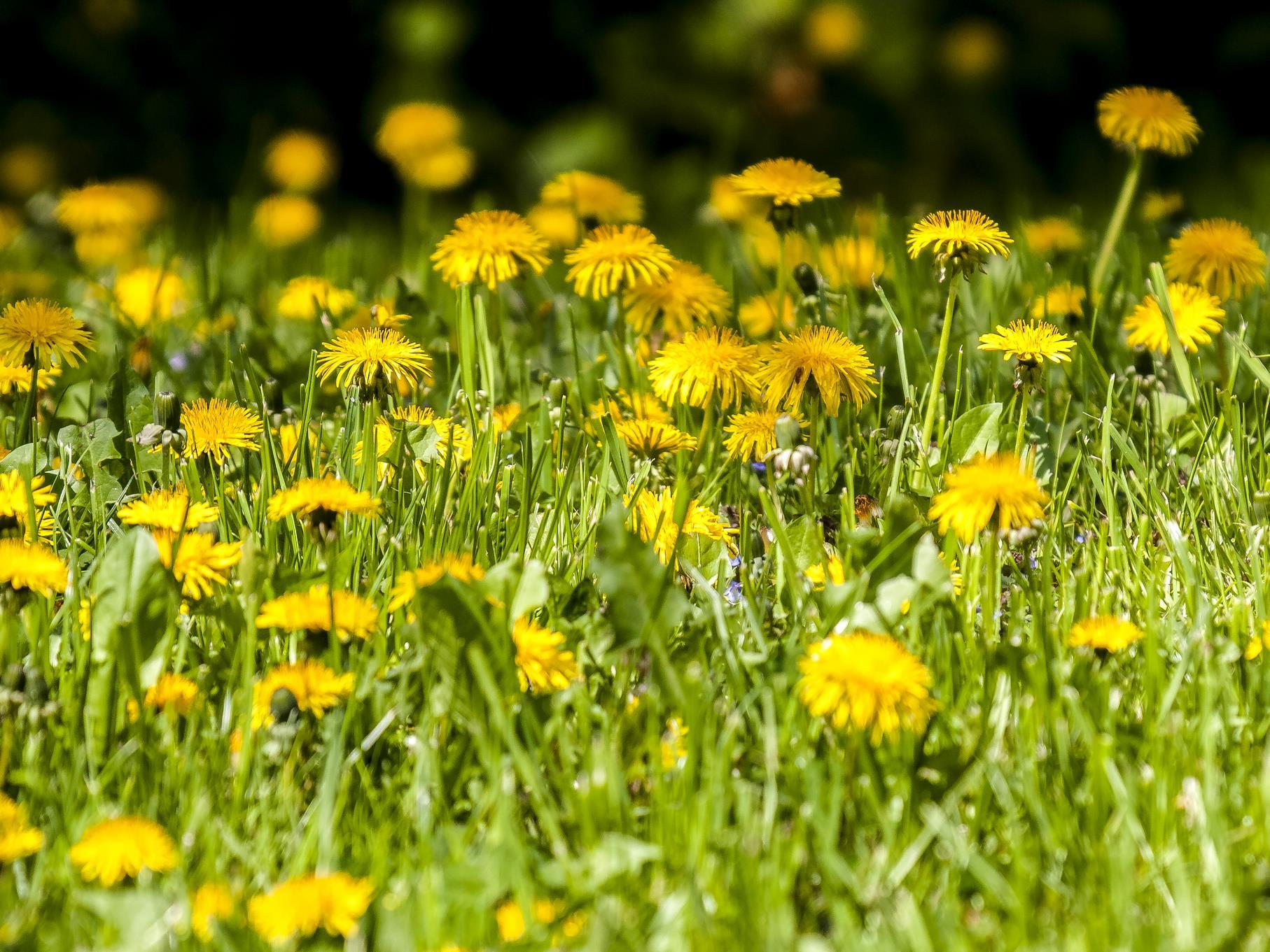 Viele Löwenzahnblüten locken zahlreiche Insekten an. Alle Bilder: Kathy Büscher.