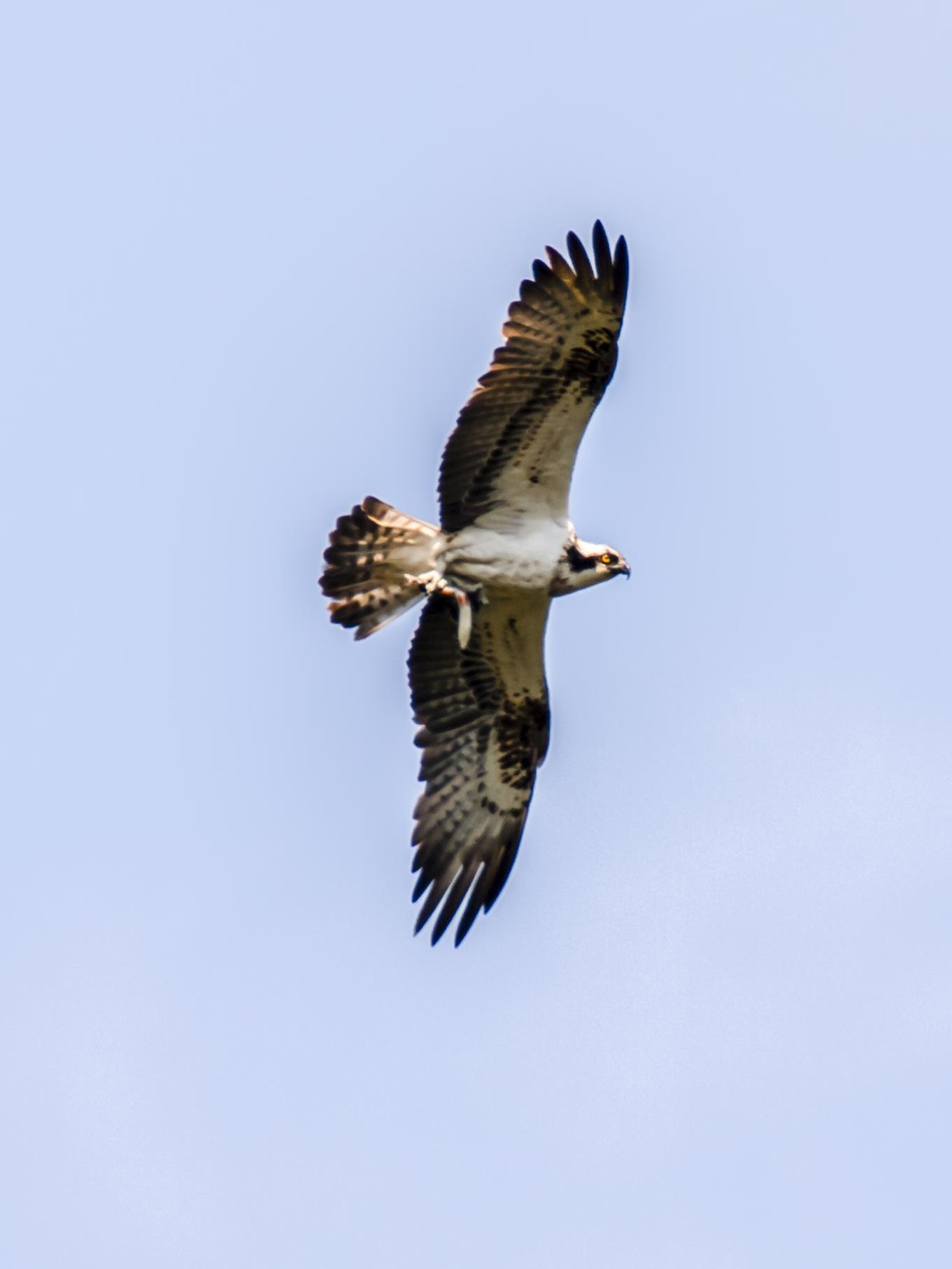Ein durchziehender Fischadler fliegt mit seiner Beute über die Auenlandschaft.