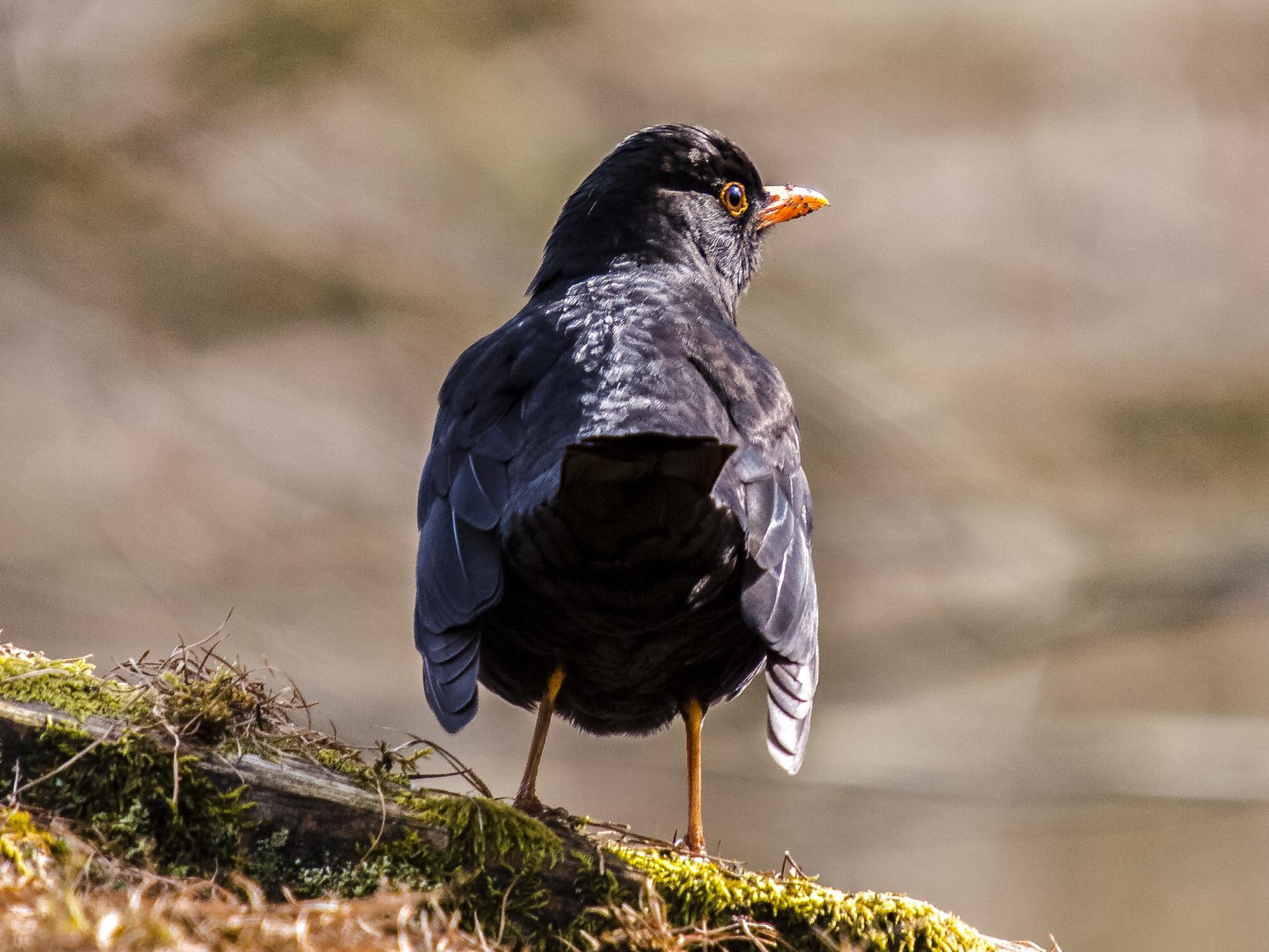 Neben vielen Wasservogelarten können auch zahlreiche Singvögel beobachtet werden, wie beispielsweise Amseln.