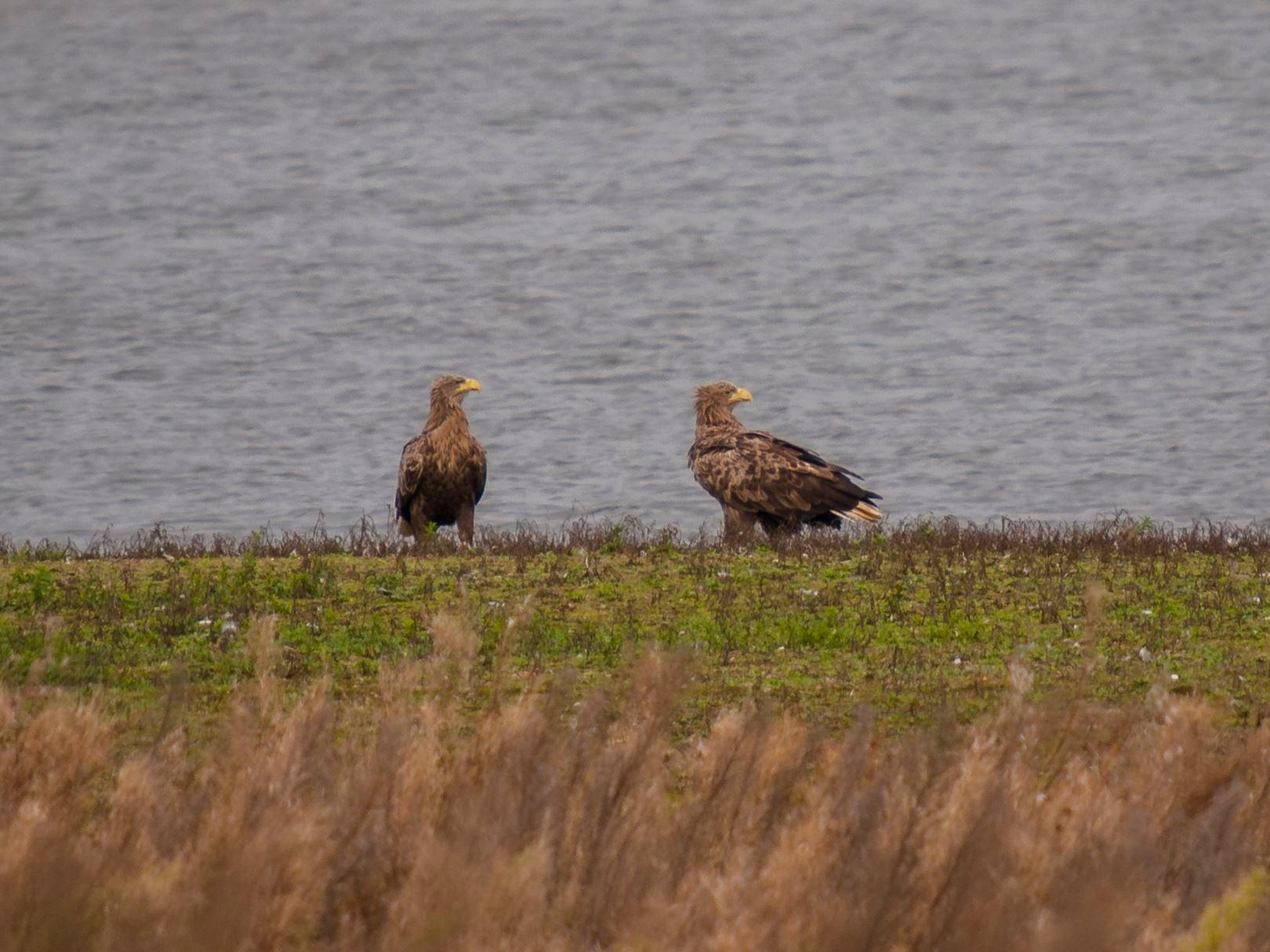 Das Seeadler-Paar auf der flachen Insel in der Auenlandschaft. - Foto: Kathy Büscher
