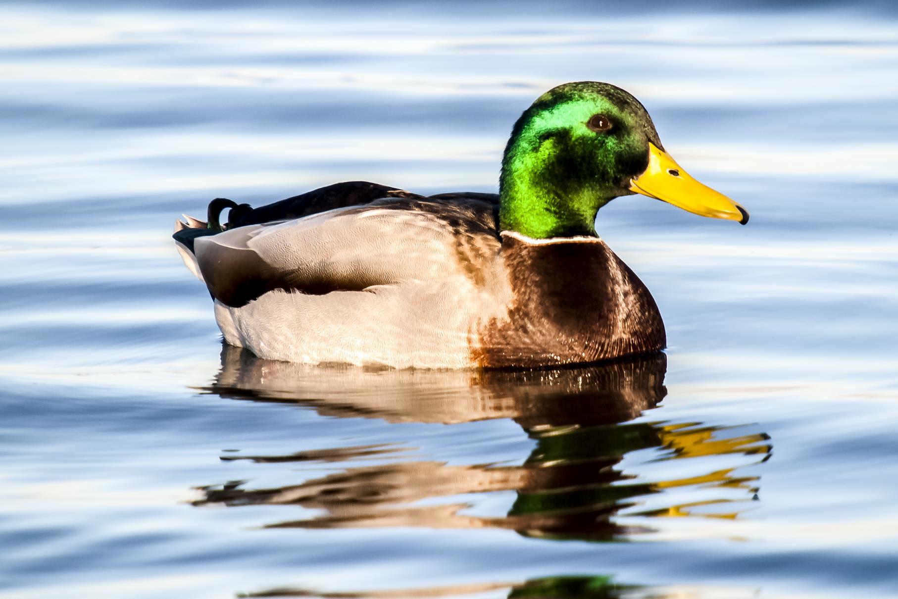 Ein Stockenten-Männchen im Wasser.