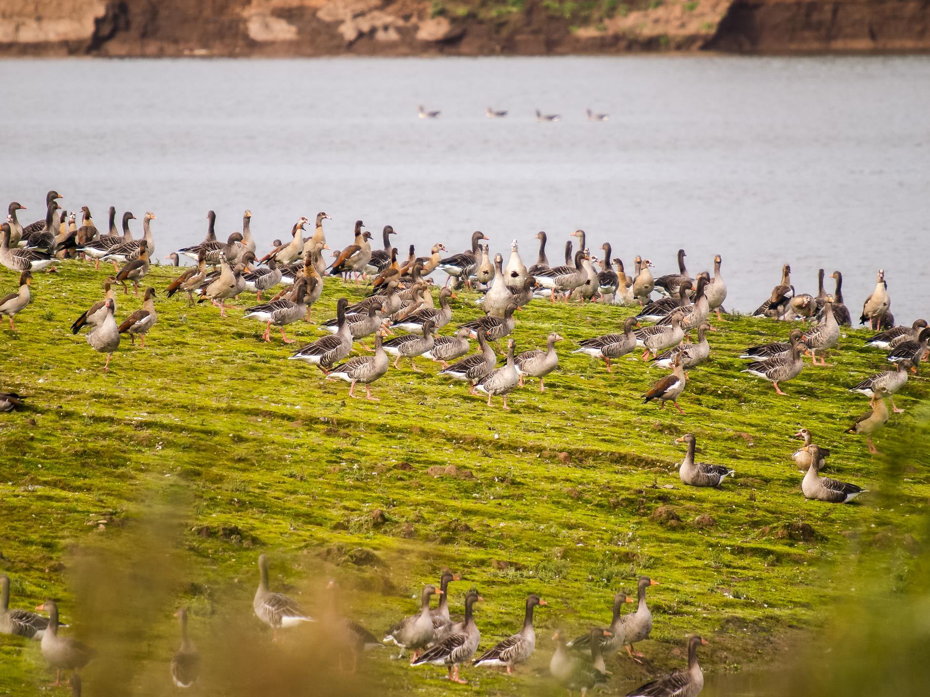 Grau- und Nilgänse sitzen zusammen am Ufer.