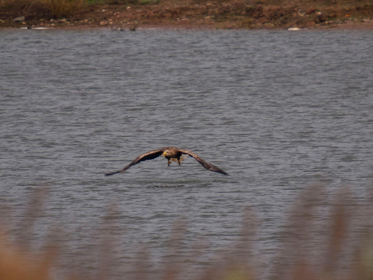 Seeadler nach einem erfolglosen Tauchgang. - Foto: Kathy Büscher