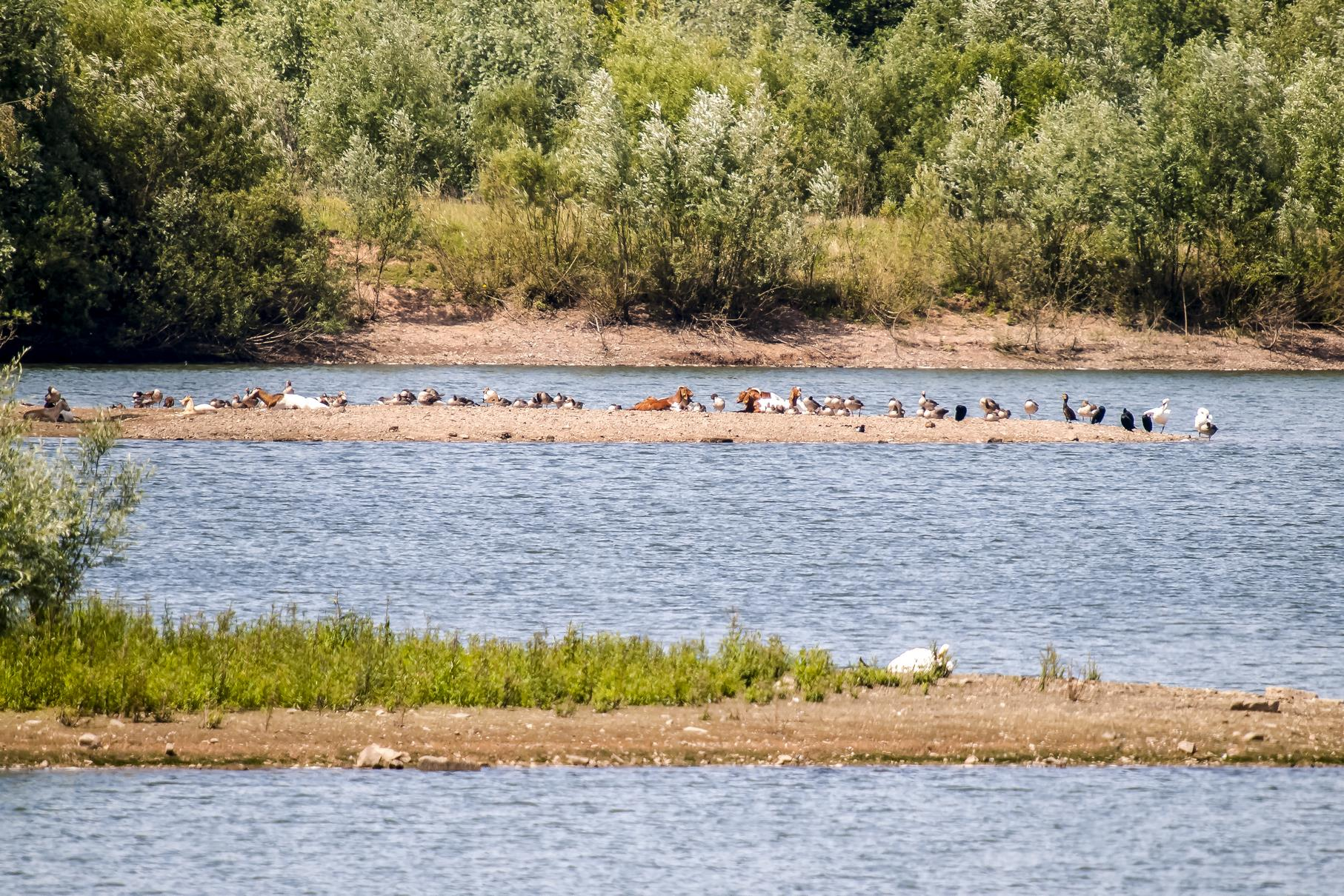 Die Burenziegen sitzen zusammen mit verschiedenen Wasservögeln auf einer Landzunge.