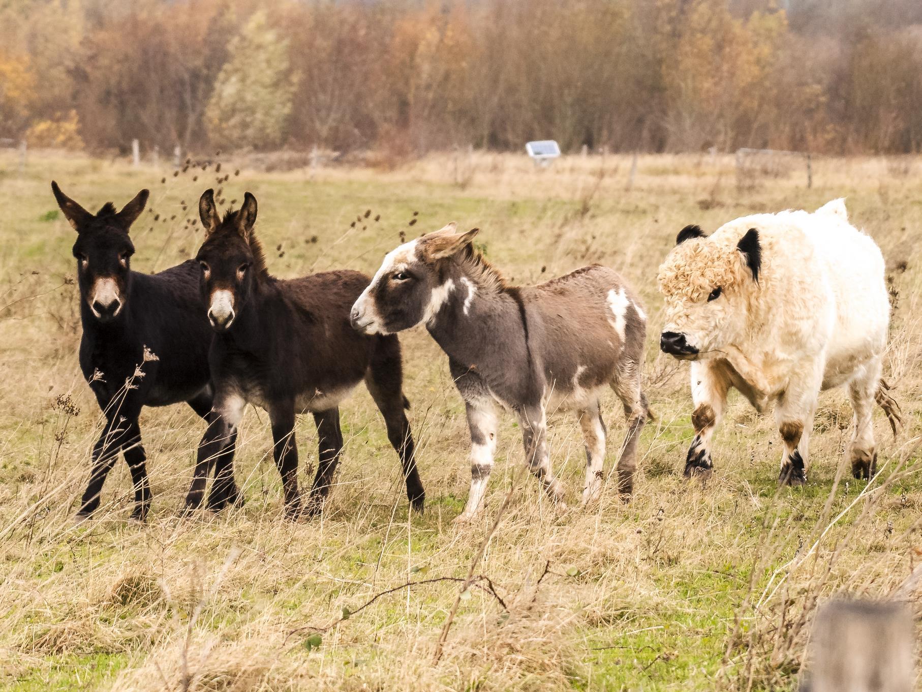 Die Esel und Galloways sind auch im Dezember noch auf der Weide.