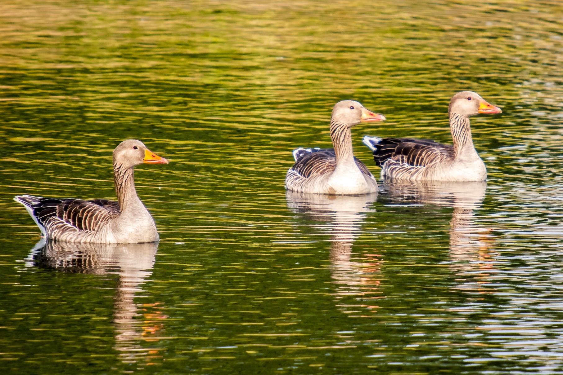 Drei schwimmende Graugänse in der Nähe des Badestrandes am mittleren Teich.
