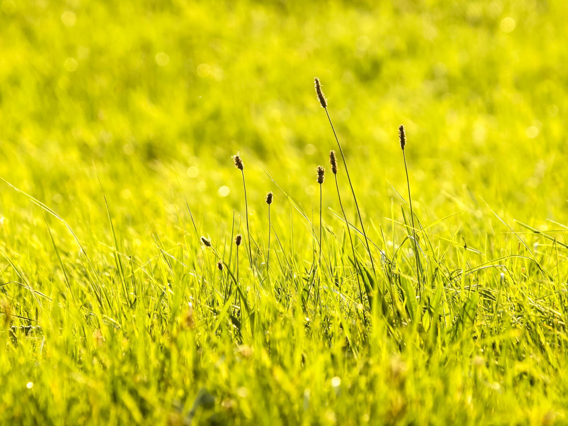 Der Spitzwegerich hebt sich vom leuchtend grünen Gras ab.