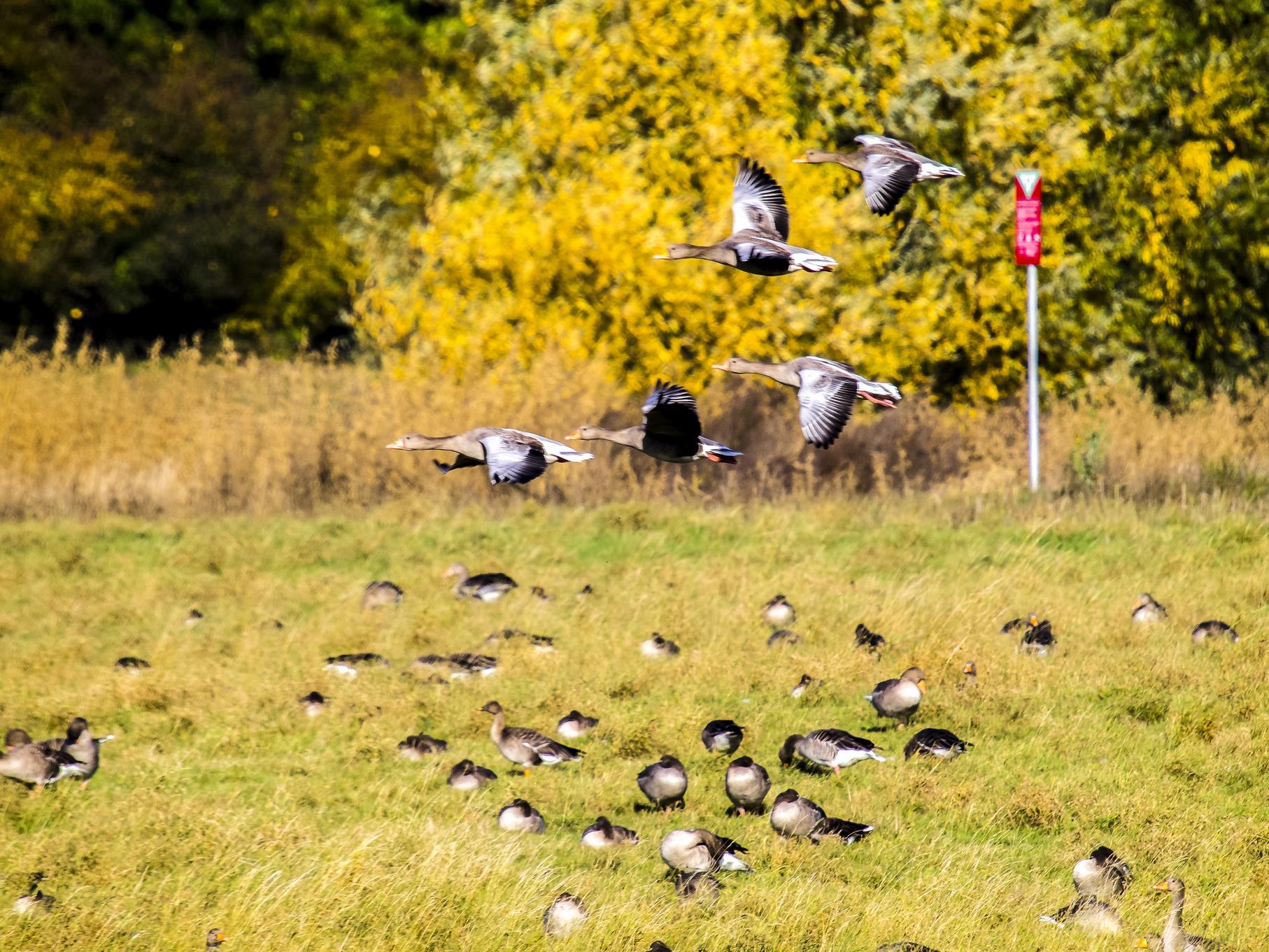 Meist sammeln sich einige hundert Gänse im Naturschutzgebiet.