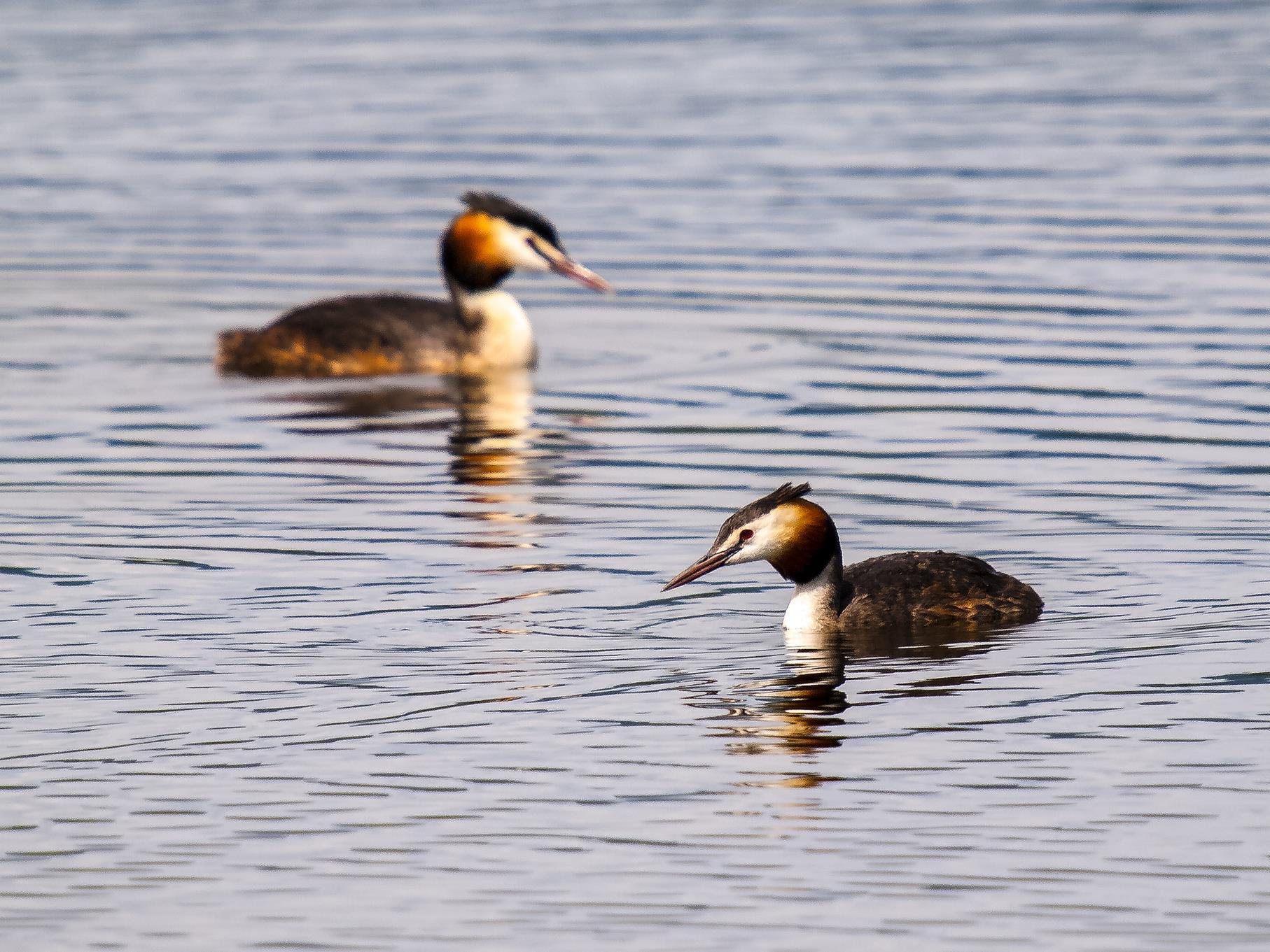 Zwei Haubentaucher schwimmen auf dem Kiesteich.