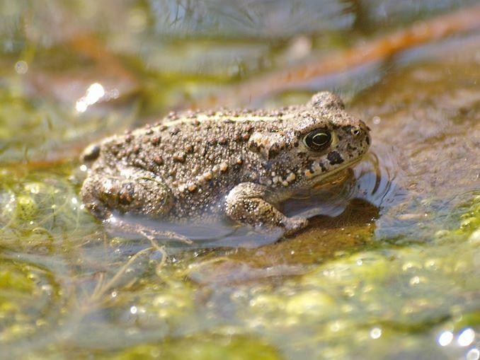 Auch Kreuzkröten gibt es im alten Steinbruch. - Foto: Kathy Büscher