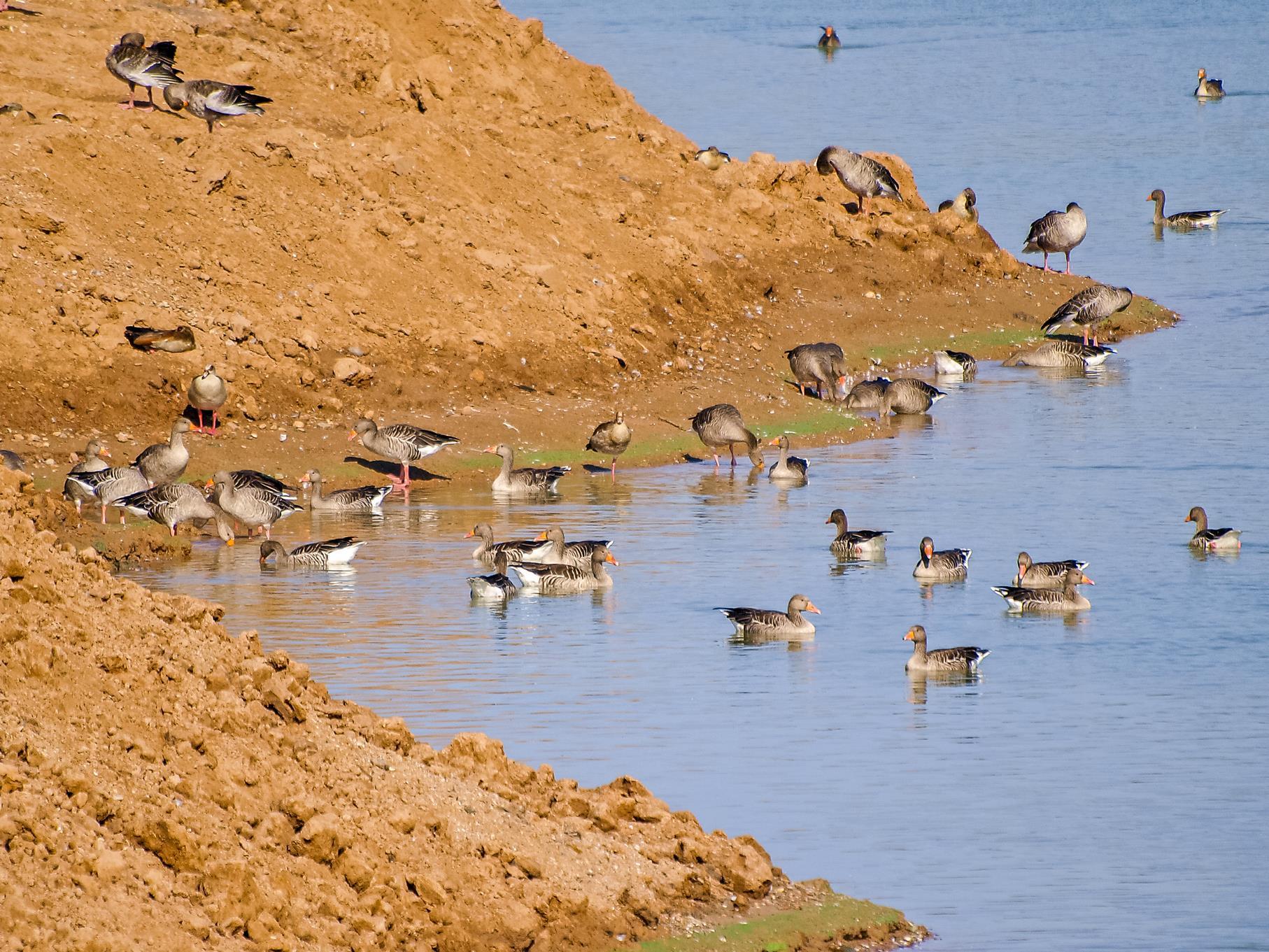 Graugänse sitzen gerne an unbewachsenen Ufern.