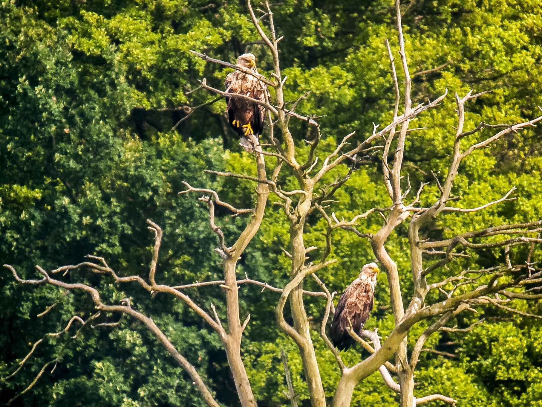 Das Seeadler-Paar sitzt oft in den hohen Bäumen.