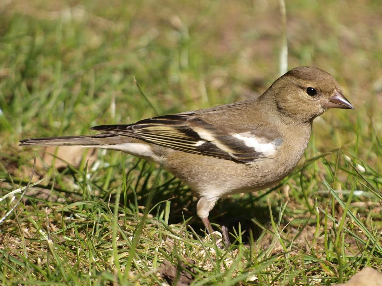 Ein Buchfinken-Weibchen im Gras. - Foto: Kathy Büscher