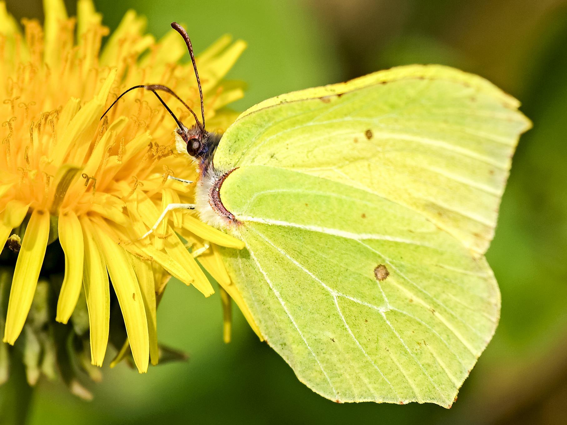 Im Mai können viele Schmetterlinge beobachtet werden, hier ein Zitronenfalter an einer Blüte.