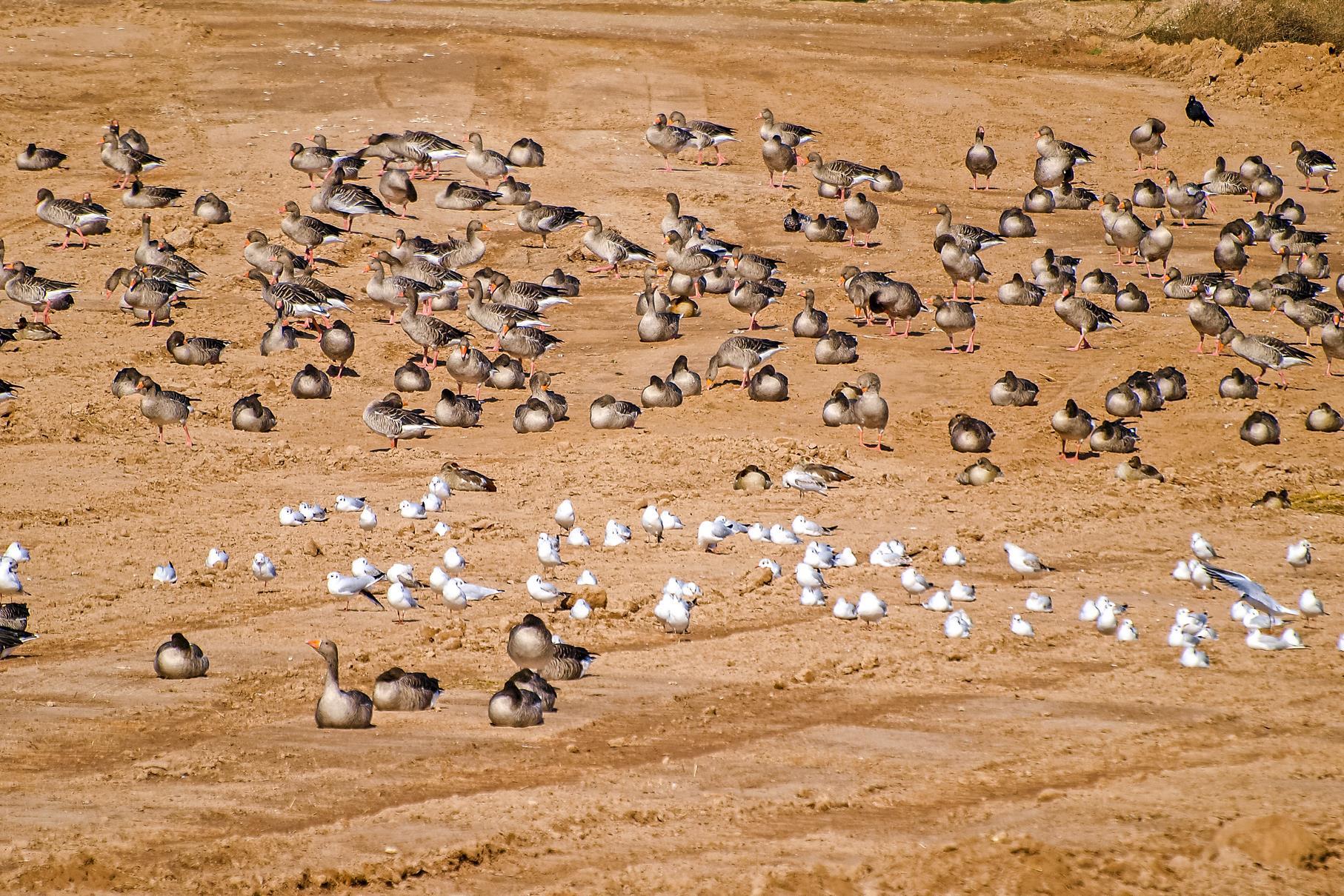 Auf der flachen Insel sitzen Dutzende Graugänse und Lachmöwen.