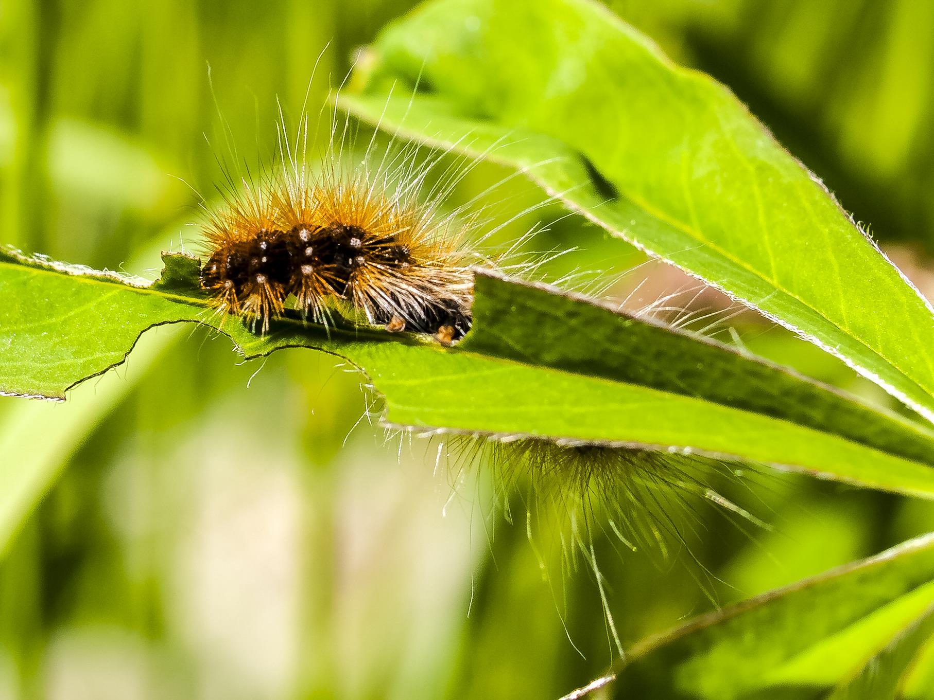 Eine haarige Raupe krabbelt entlang eines Blattes.