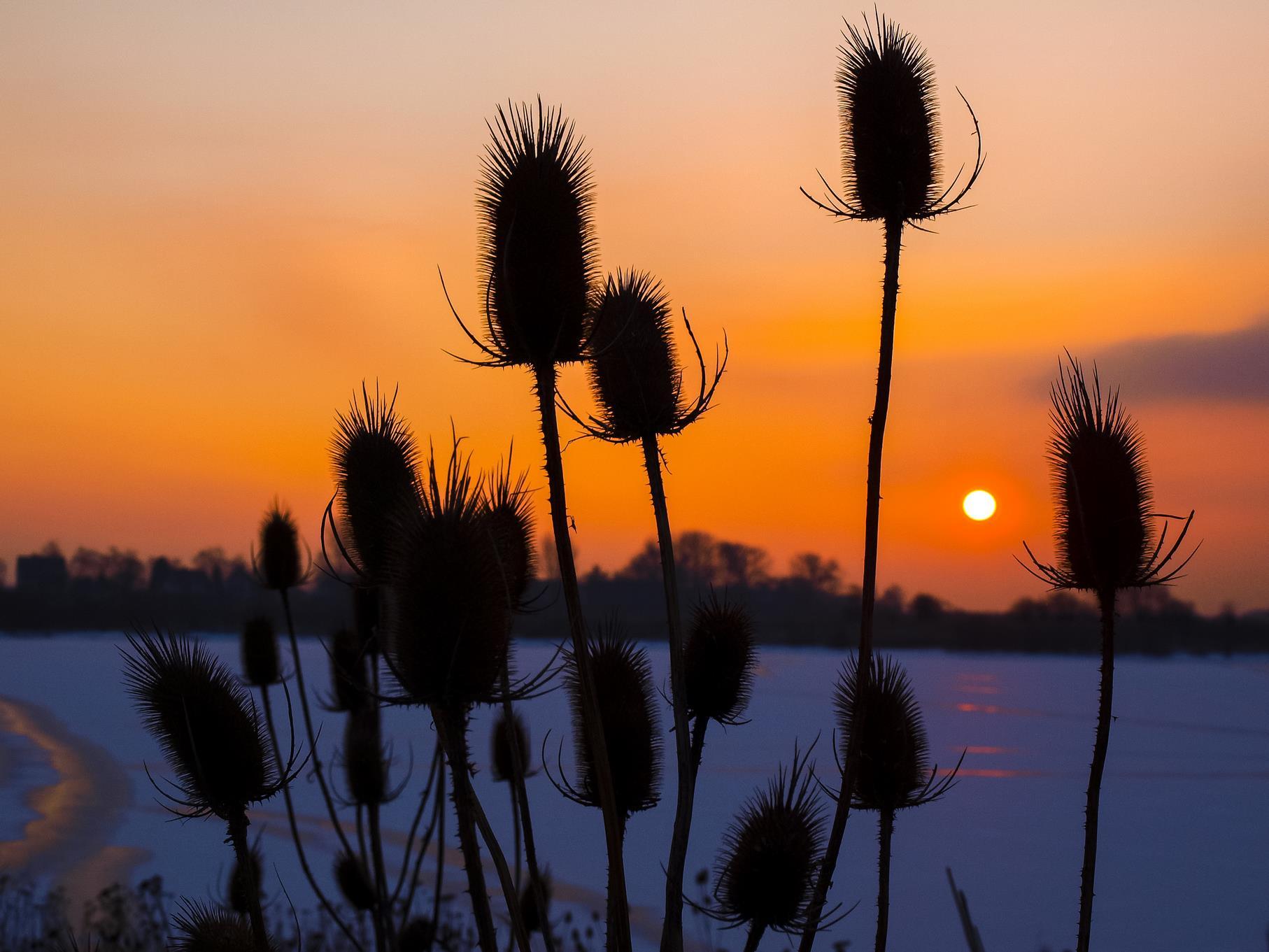 Wilde Karde im Sonnenaufgang an einem Februarmorgen.